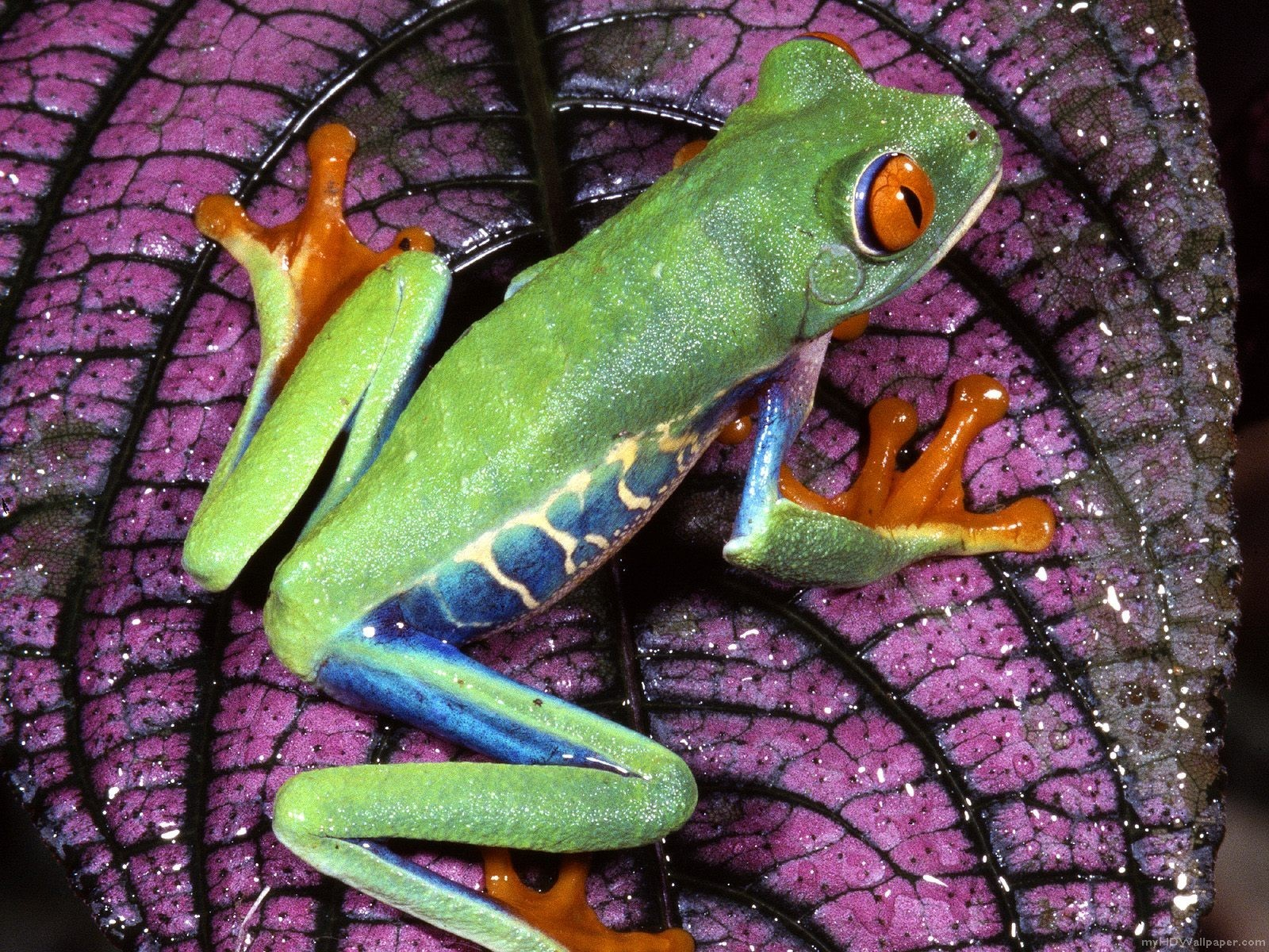 nature Frogs Red-Eyed Tree HD Wallpaper