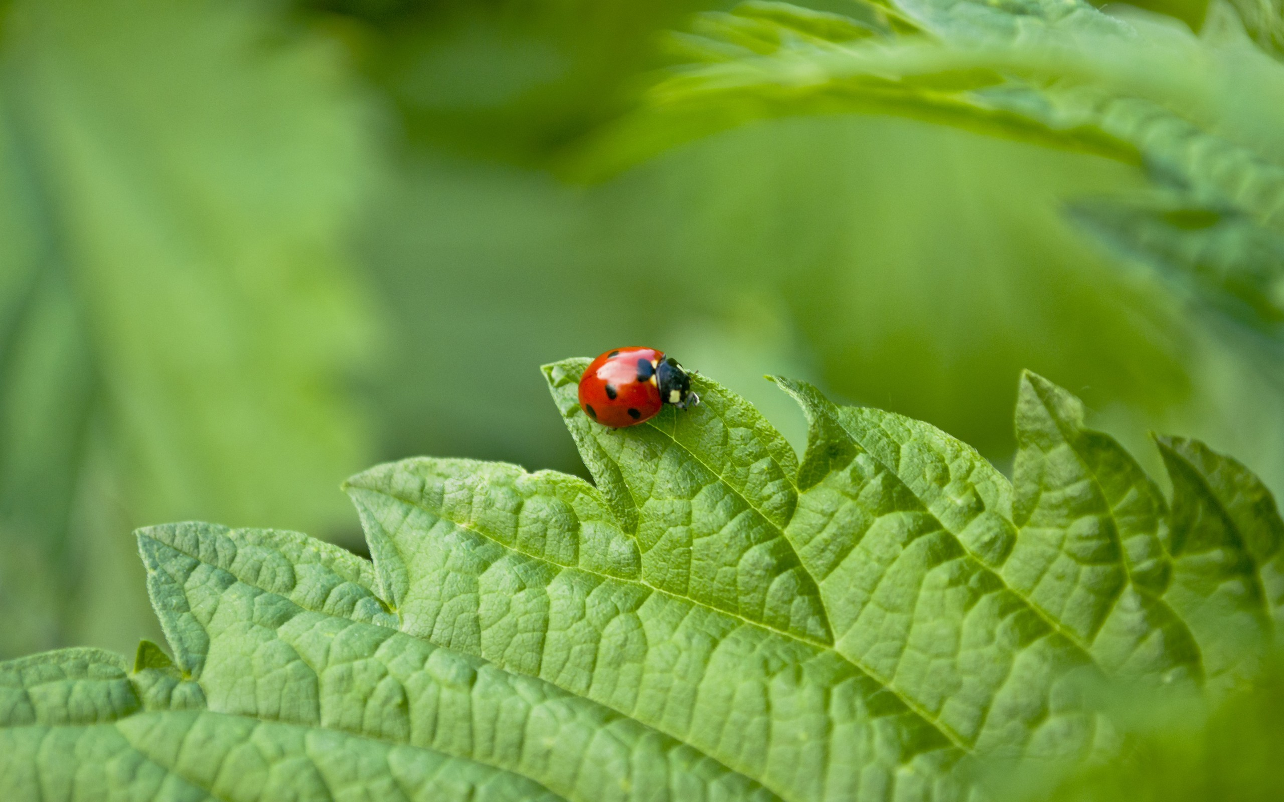 nature insects Beetles ladybirds HD Wallpaper