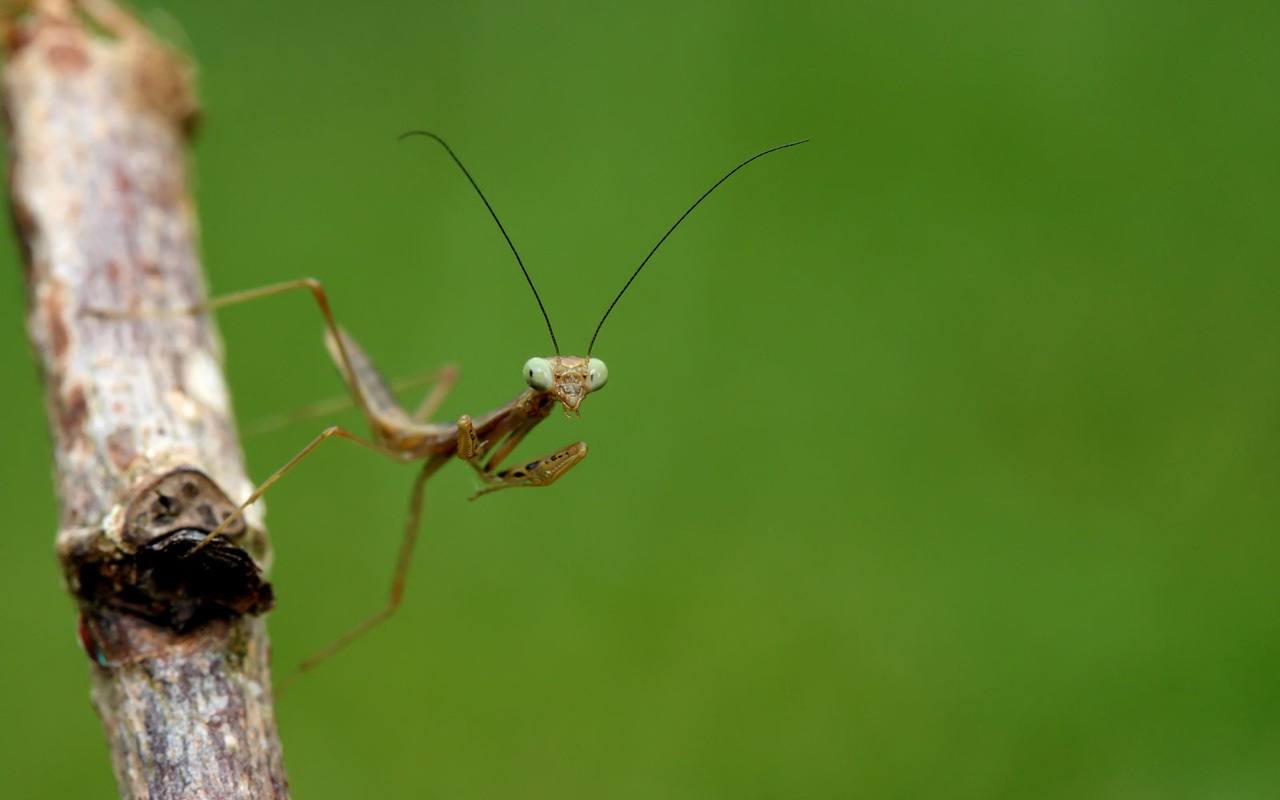 nature insects photography mantis HD Wallpaper