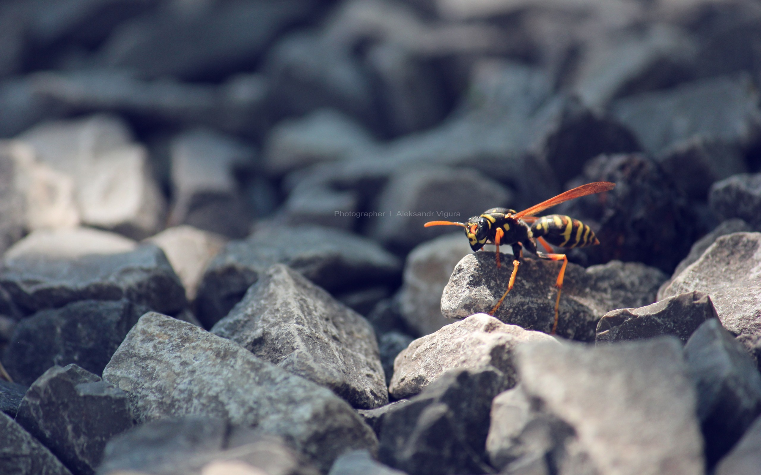 nature insects wasp macro HD Wallpaper