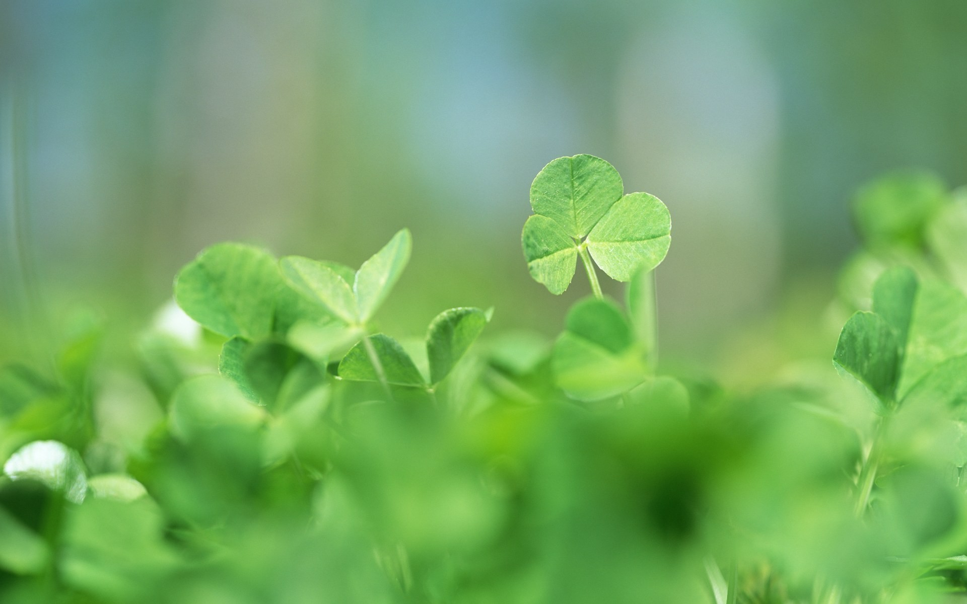 nature leaves clover
