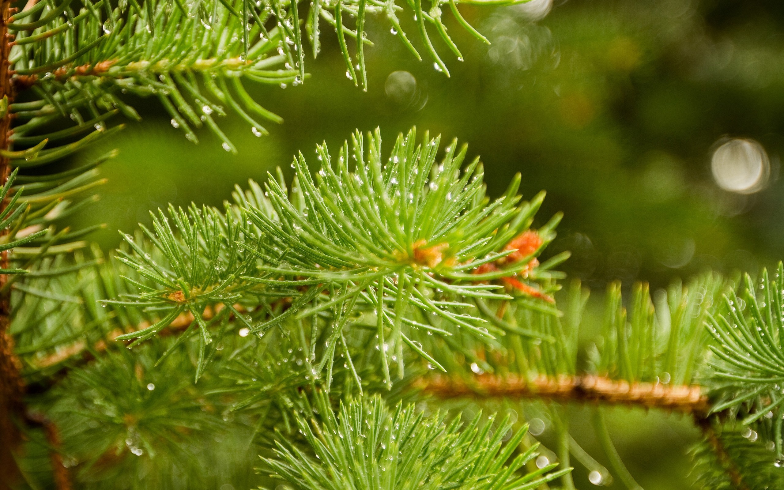nature spruce depth of HD Wallpaper