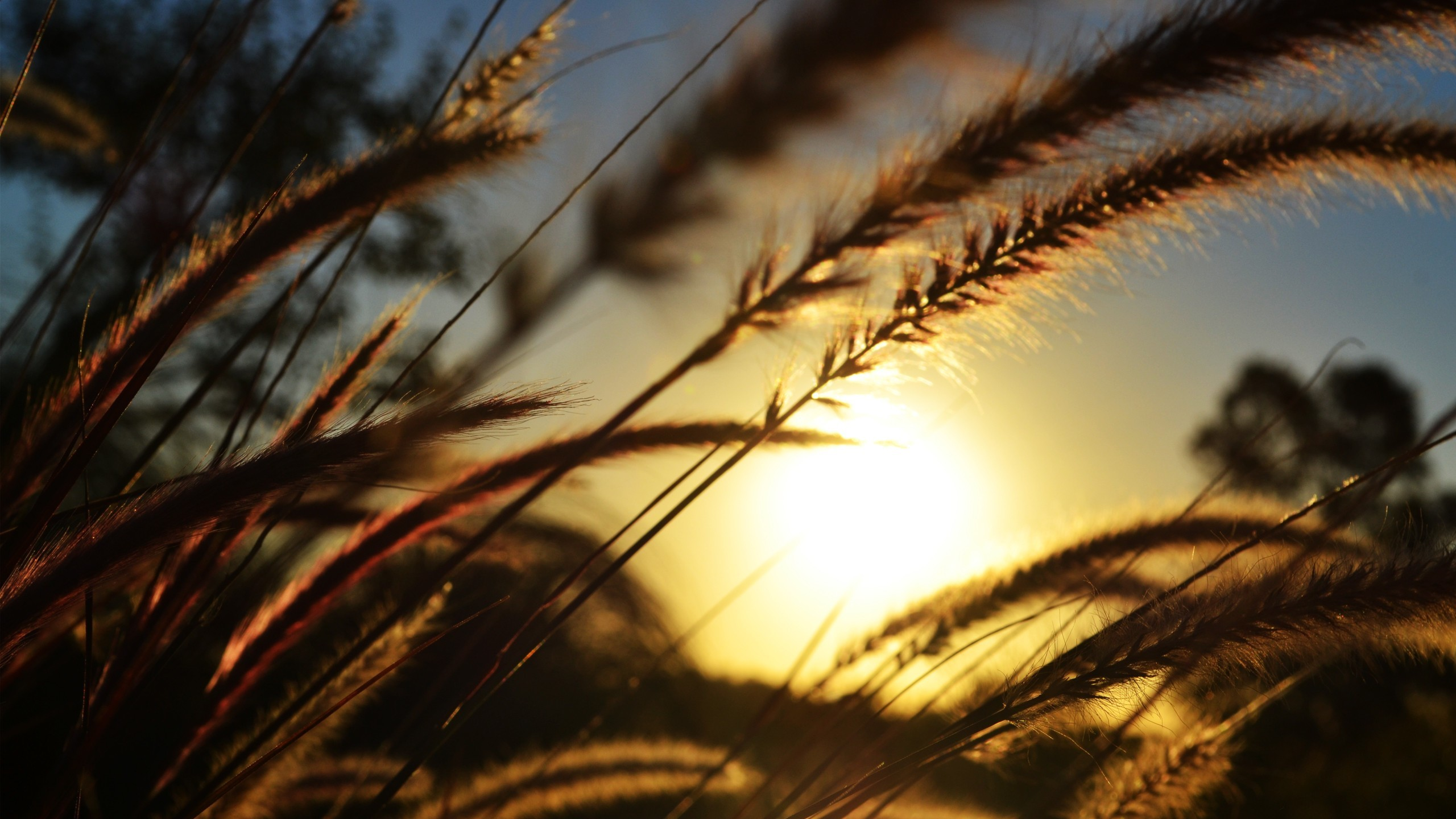 nature sun wheat spikelets HD Wallpaper