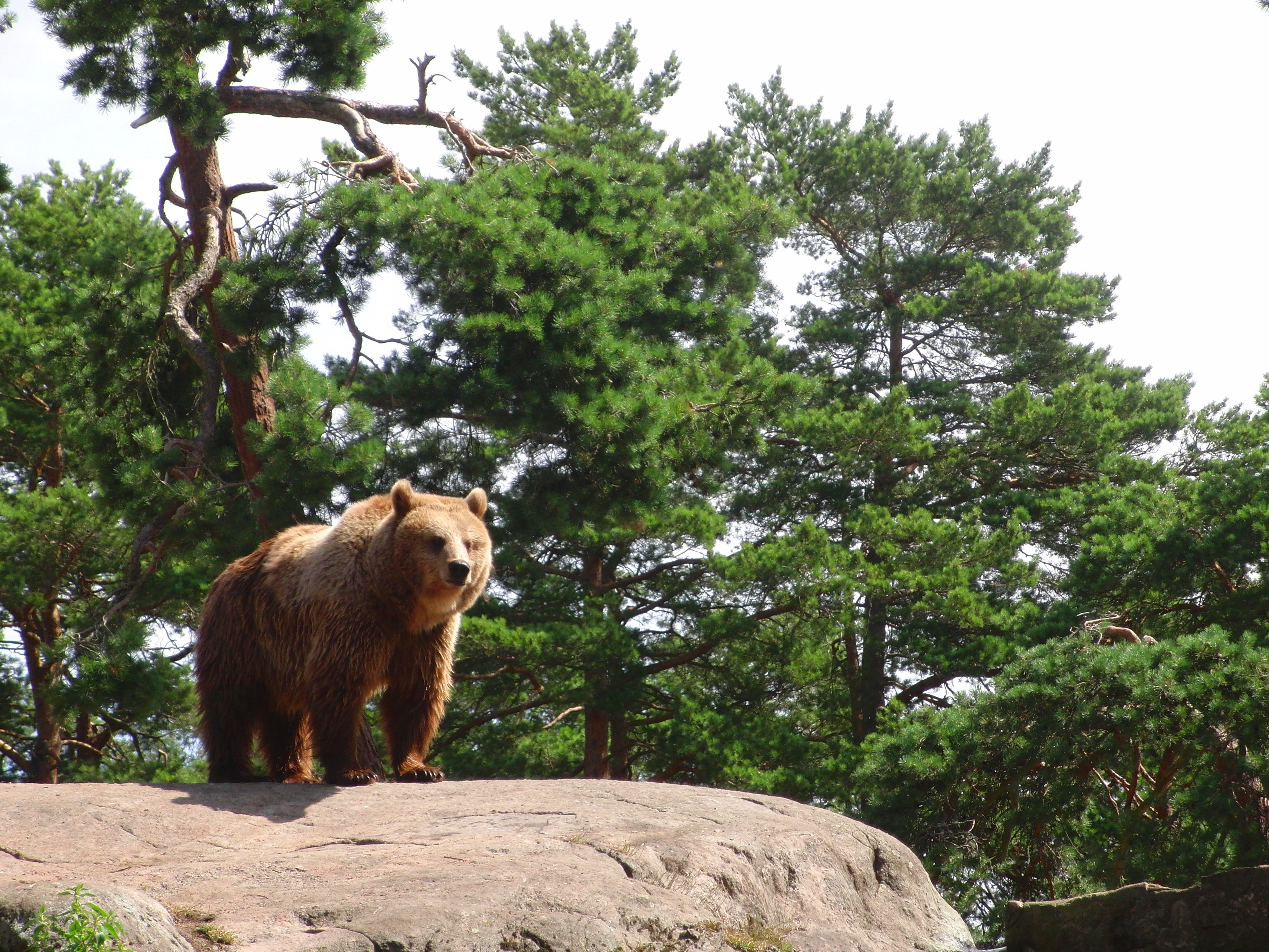nature sweden Bears zoo HD Wallpaper