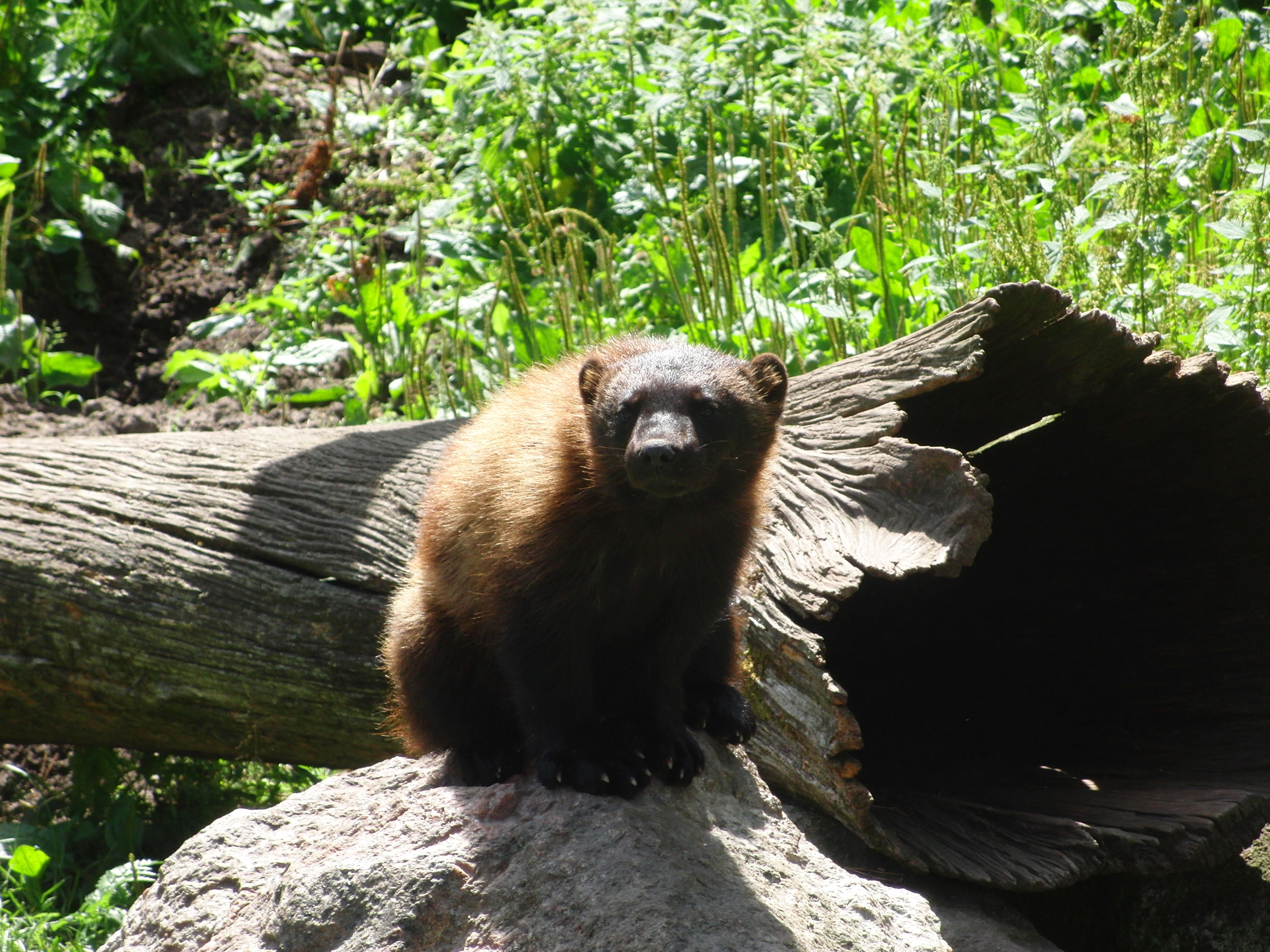 nature Swedish zoo wolverines HD Wallpaper
