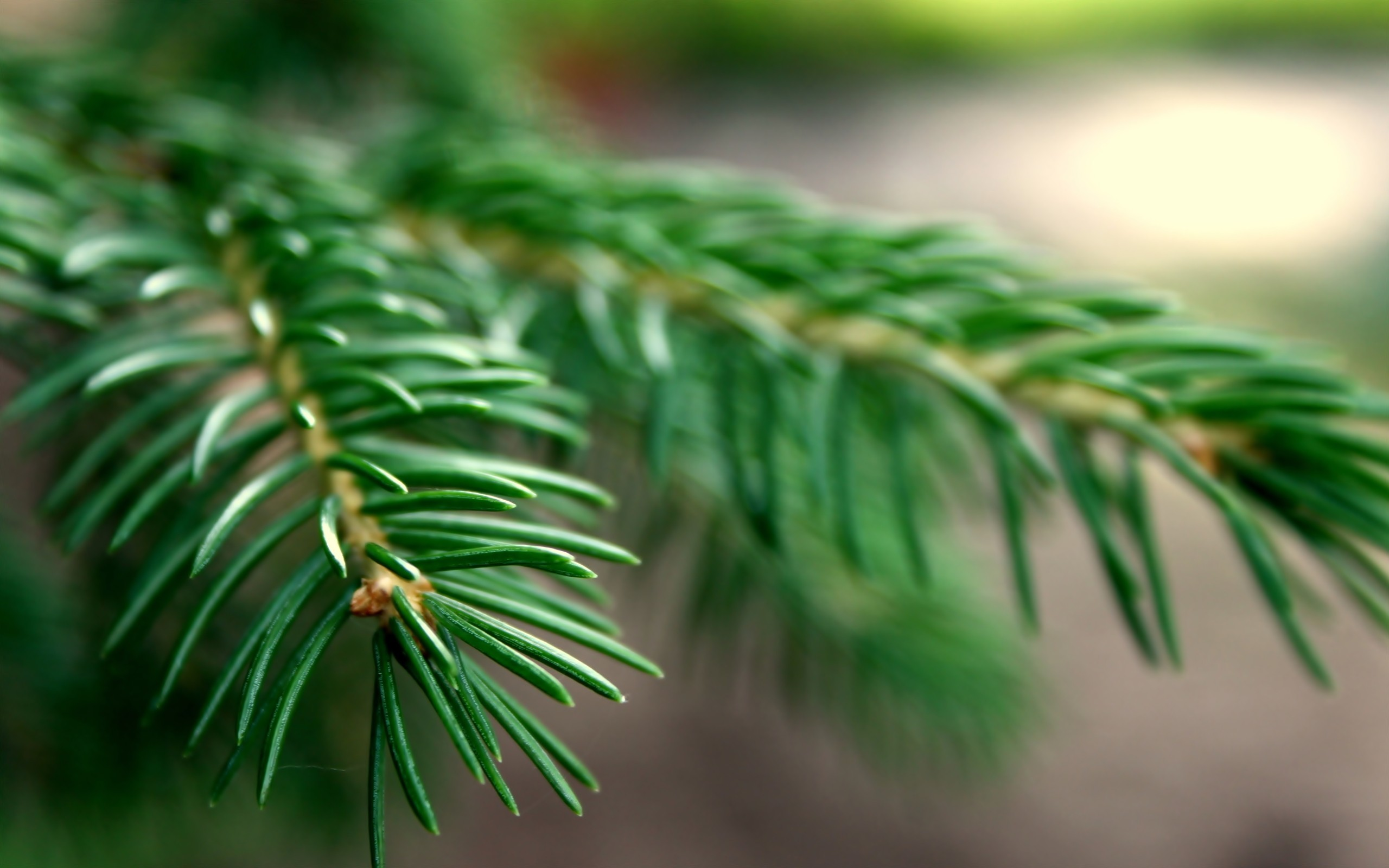 nature Trees macro spruce HD Wallpaper
