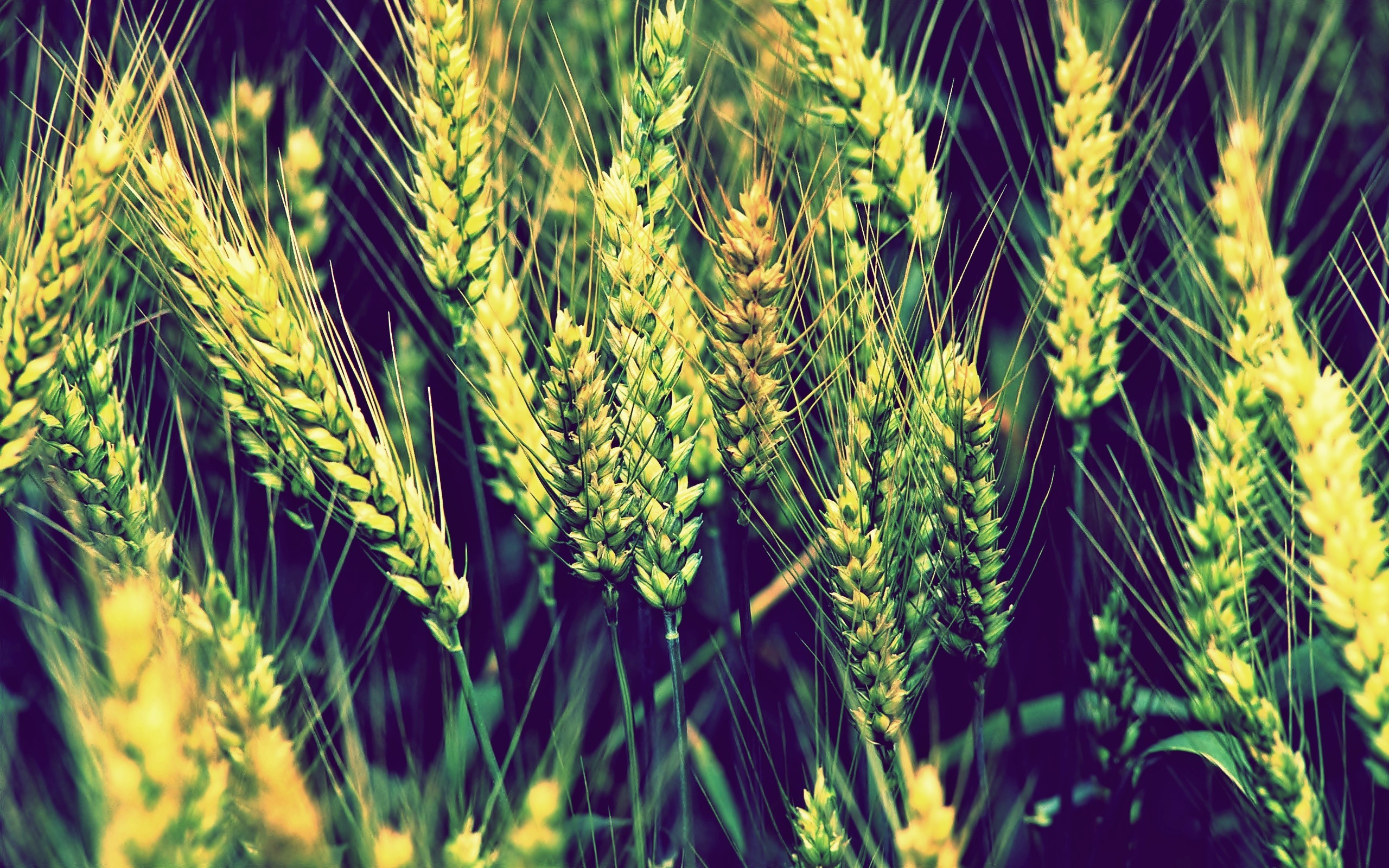 nature wheat Plants HD Wallpaper