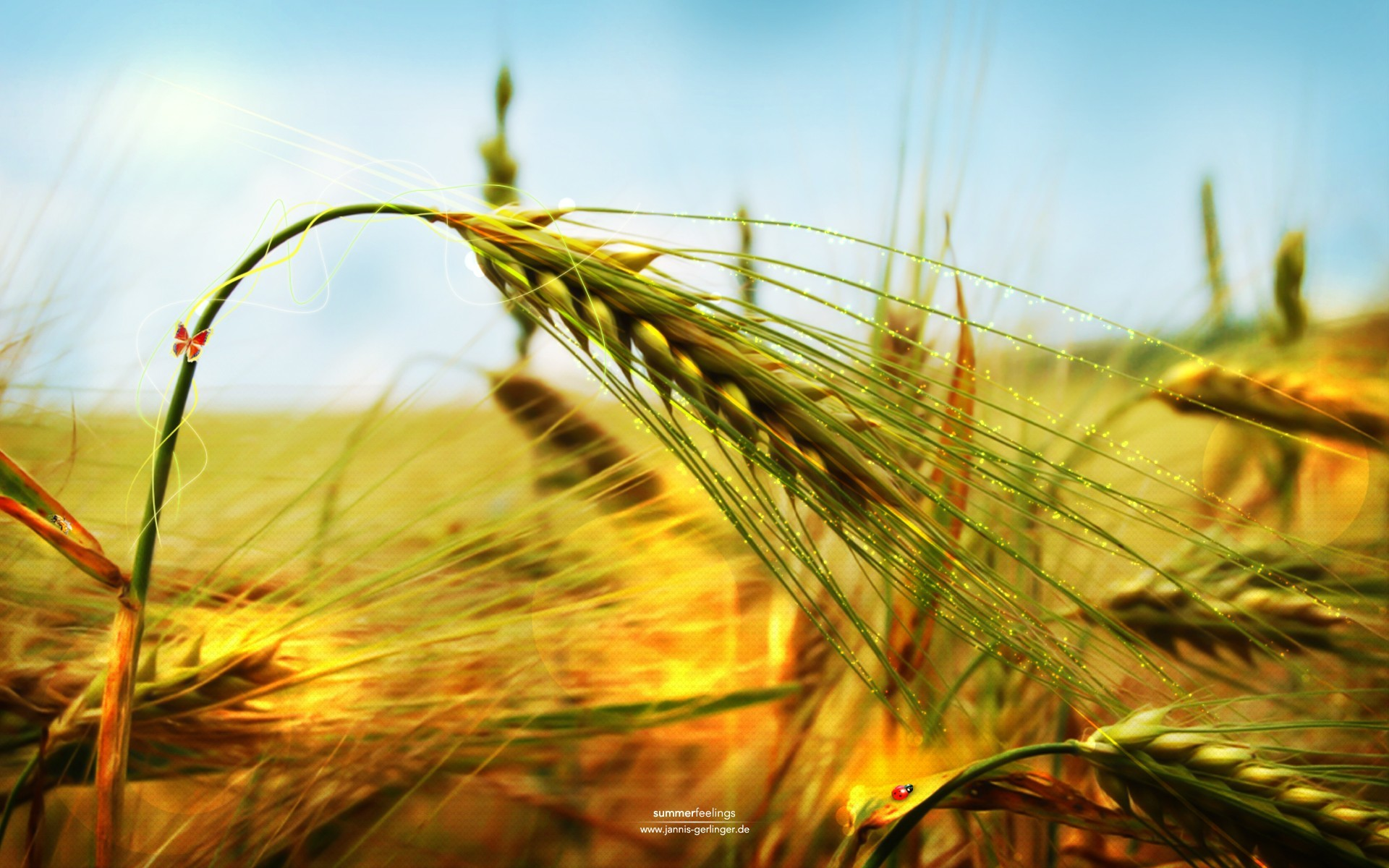 nature wheat spikelets HD Wallpaper
