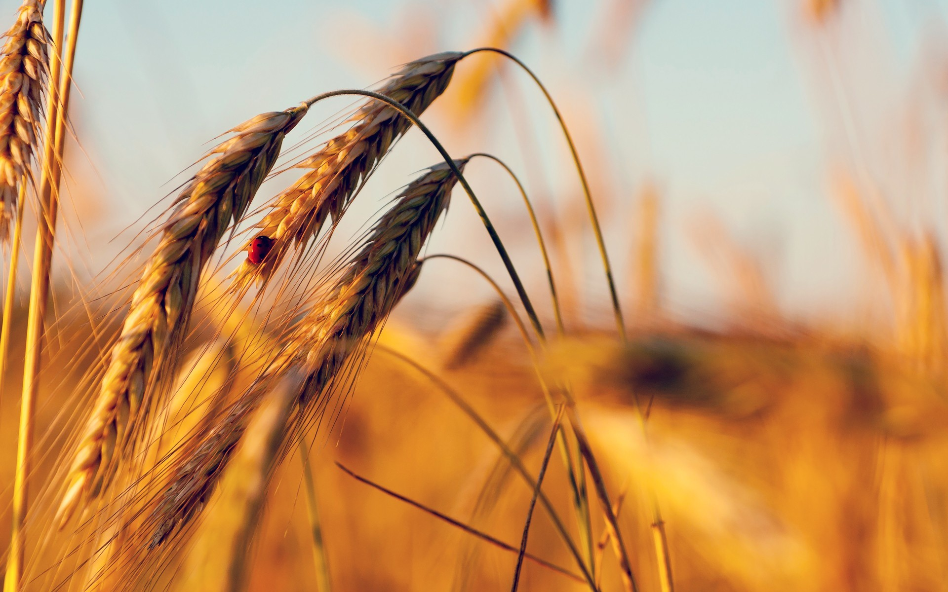 nature wheat sunlight macro HD Wallpaper