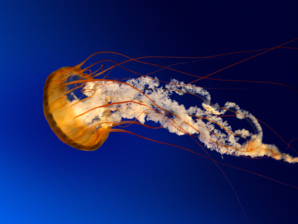 ocean jellyfish nature