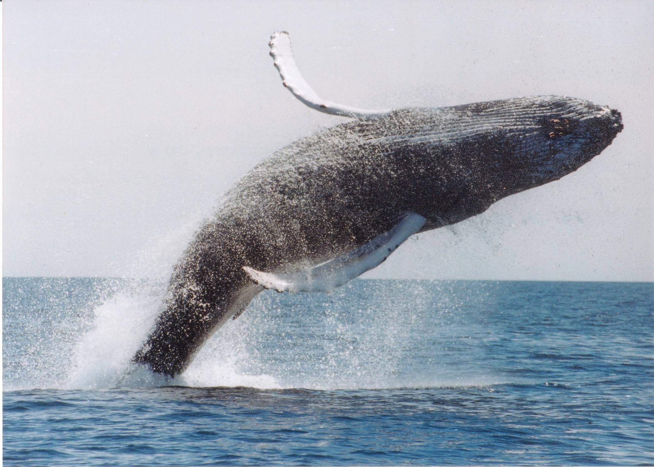 ocean jumping Whales HD Wallpaper