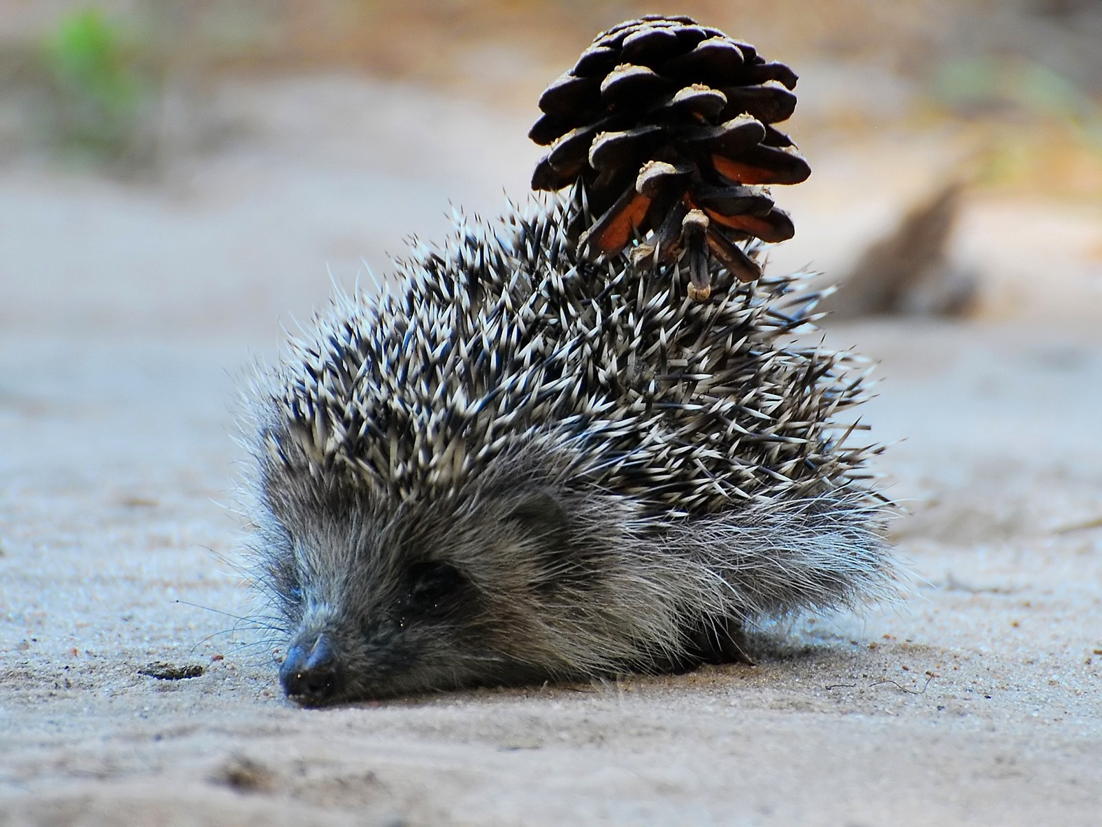 outdoors hedgehogs pinecones Animals HD Wallpaper