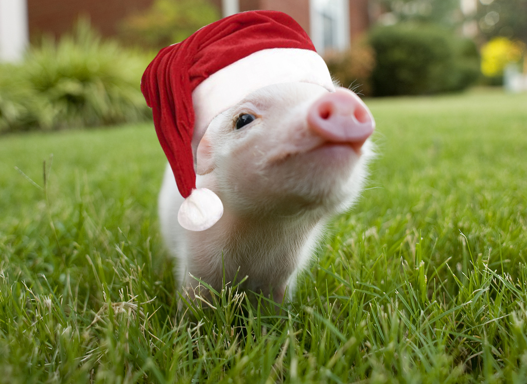 Piggy santa claus hats HD Wallpaper
