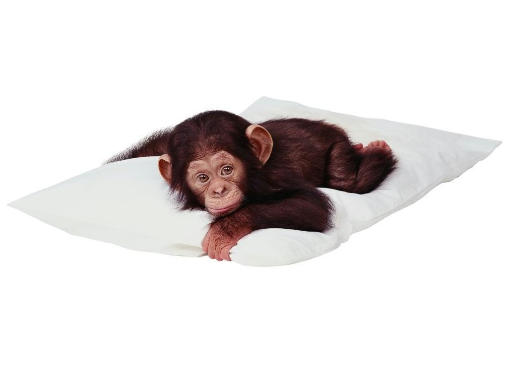 pillows monkeys chimpanzee baby HD Wallpaper