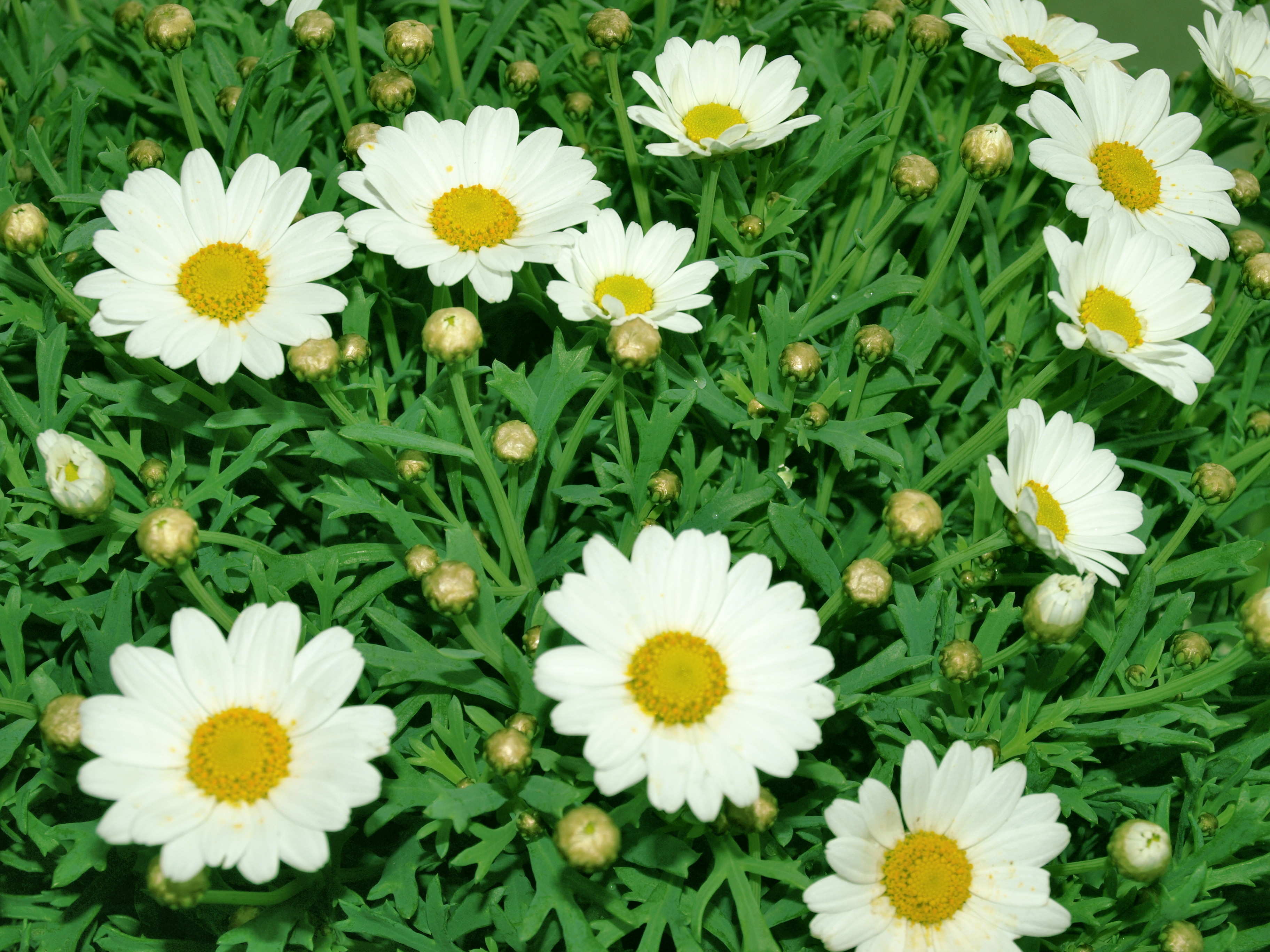 Plants nature Flowers Daisy HD Wallpaper
