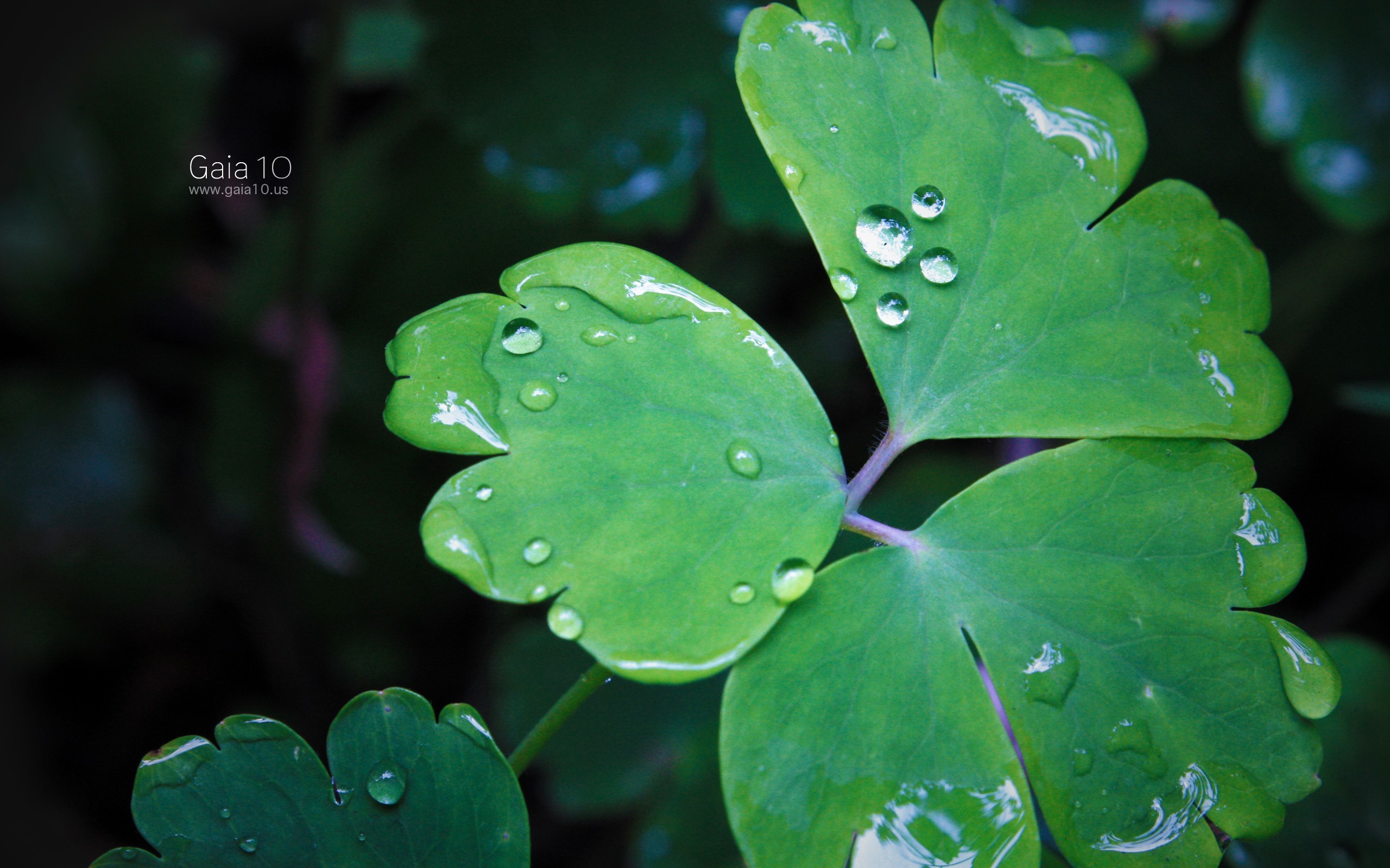 Plants shamrock clover HD Wallpaper