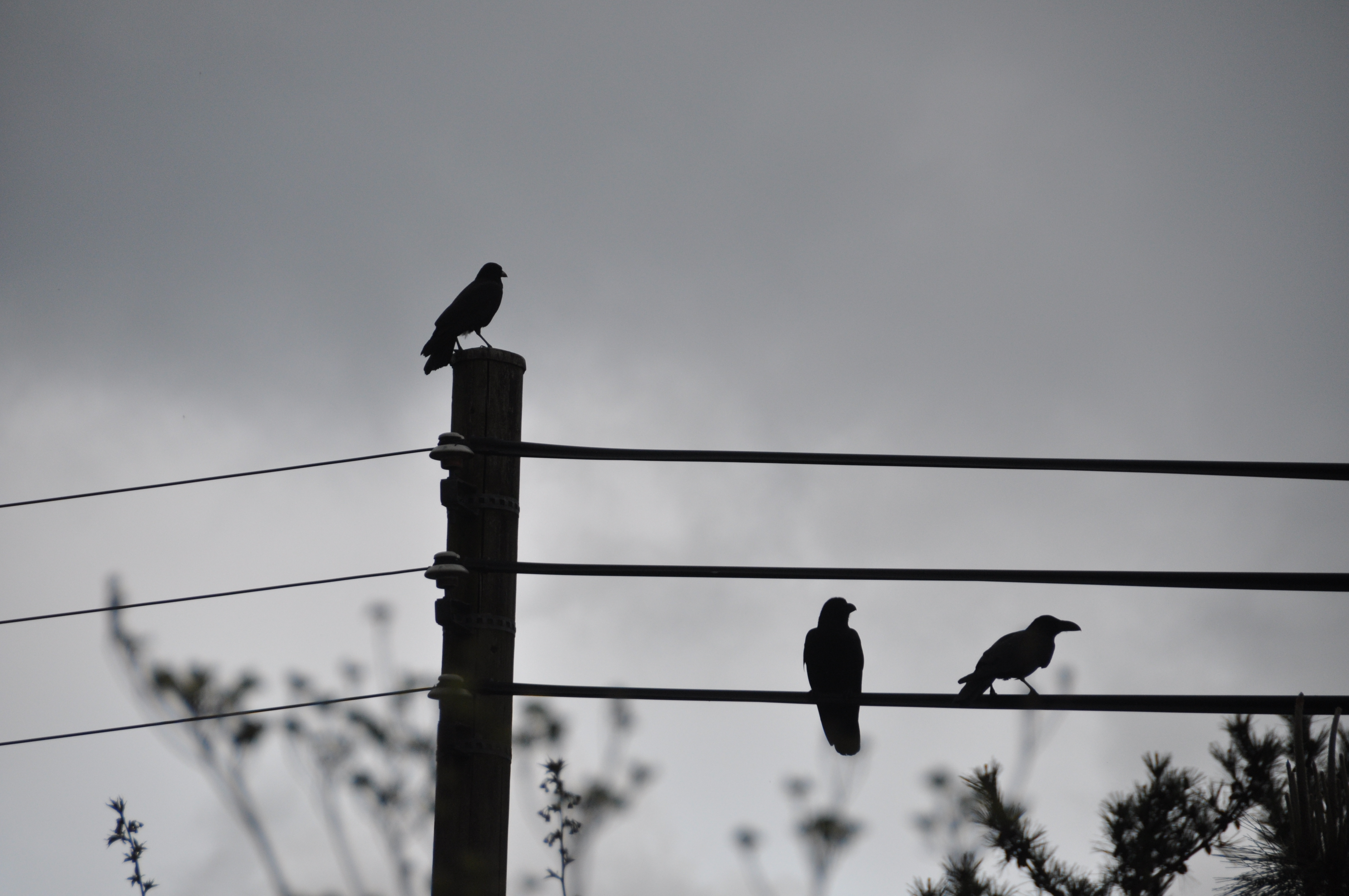 power lines crows Birds HD Wallpaper