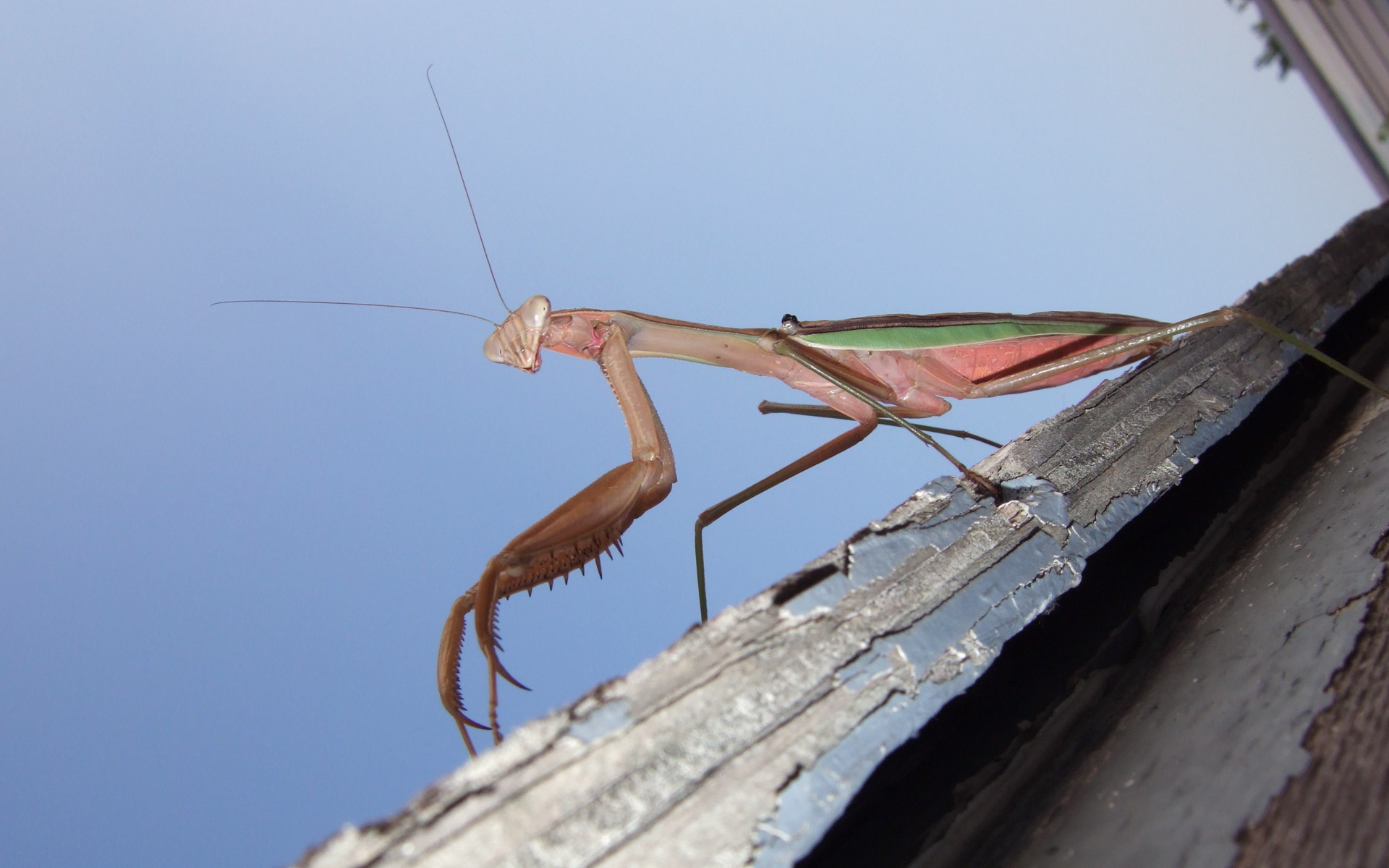 praying mantis HD Wallpaper