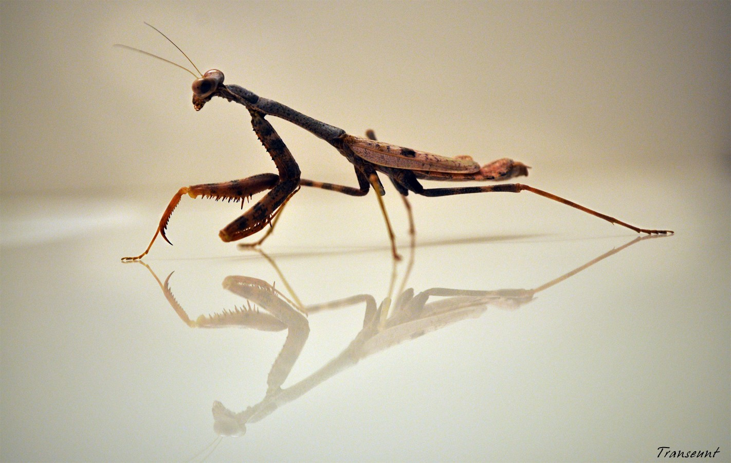 Praying Mantis reflections insects HD Wallpaper