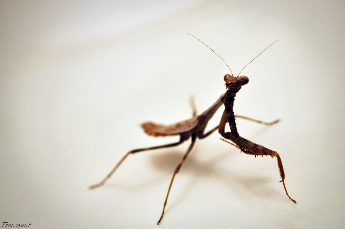 Praying Mantis white insects HD Wallpaper