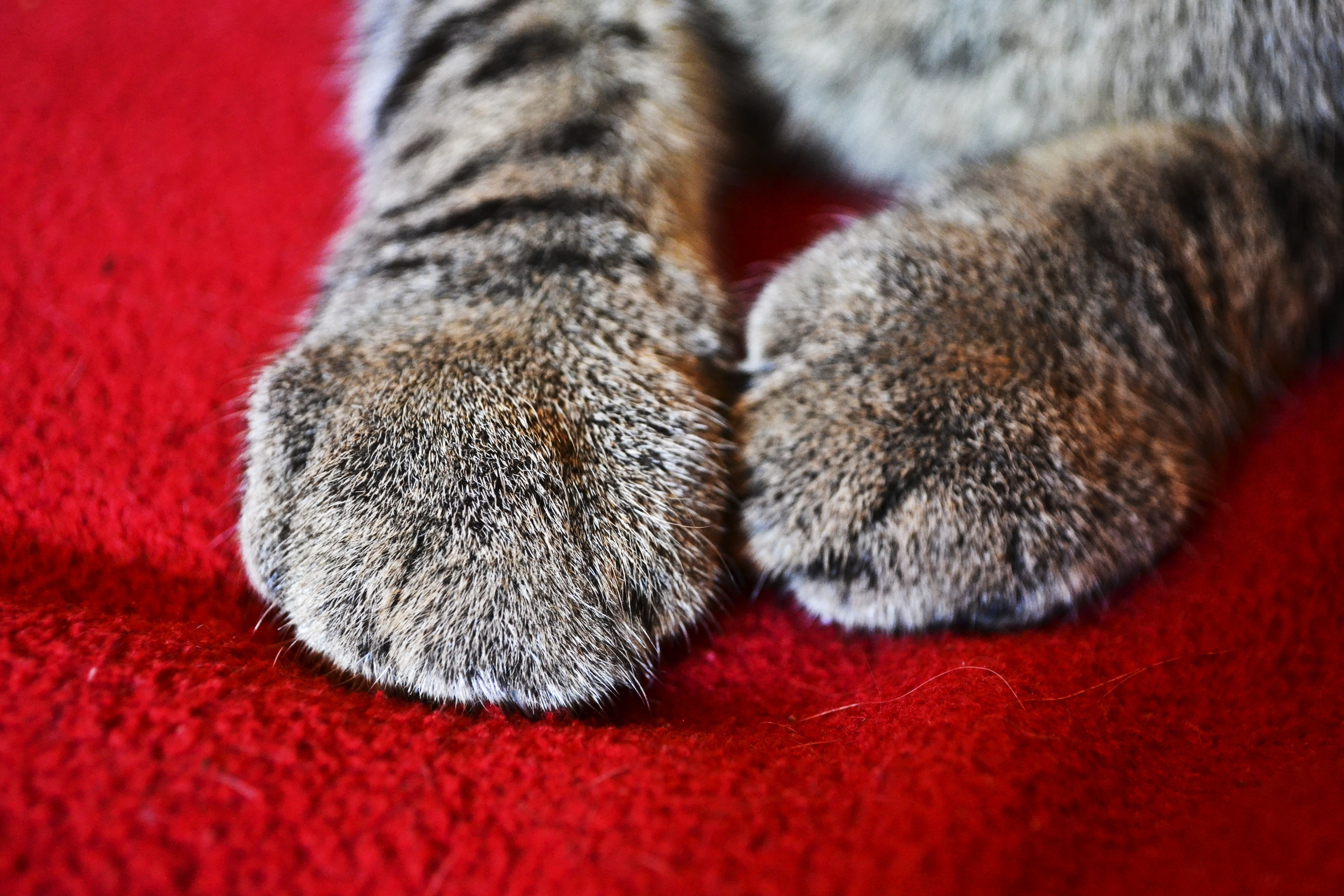 red cats grey paws