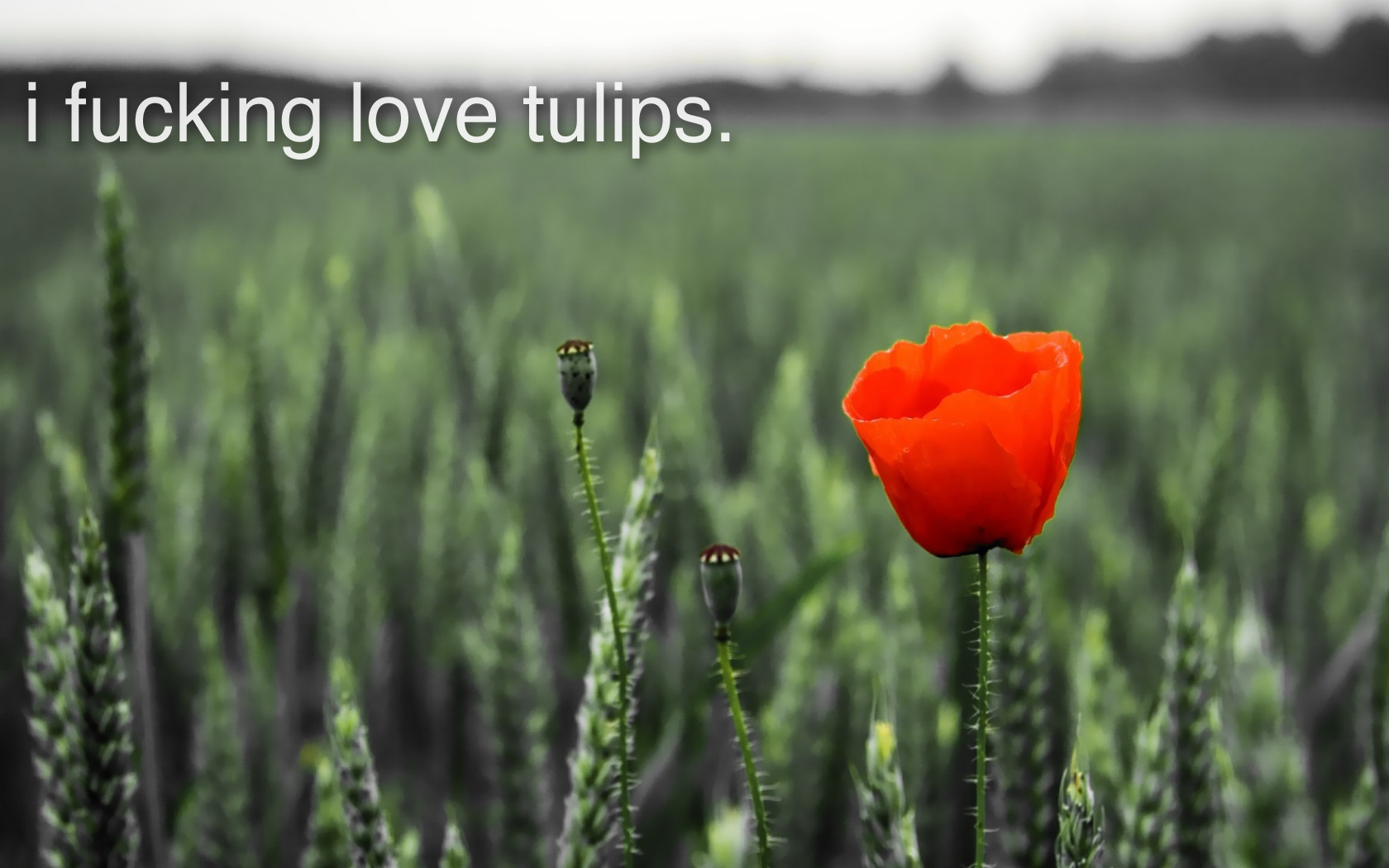 red Flowers text fields HD Wallpaper