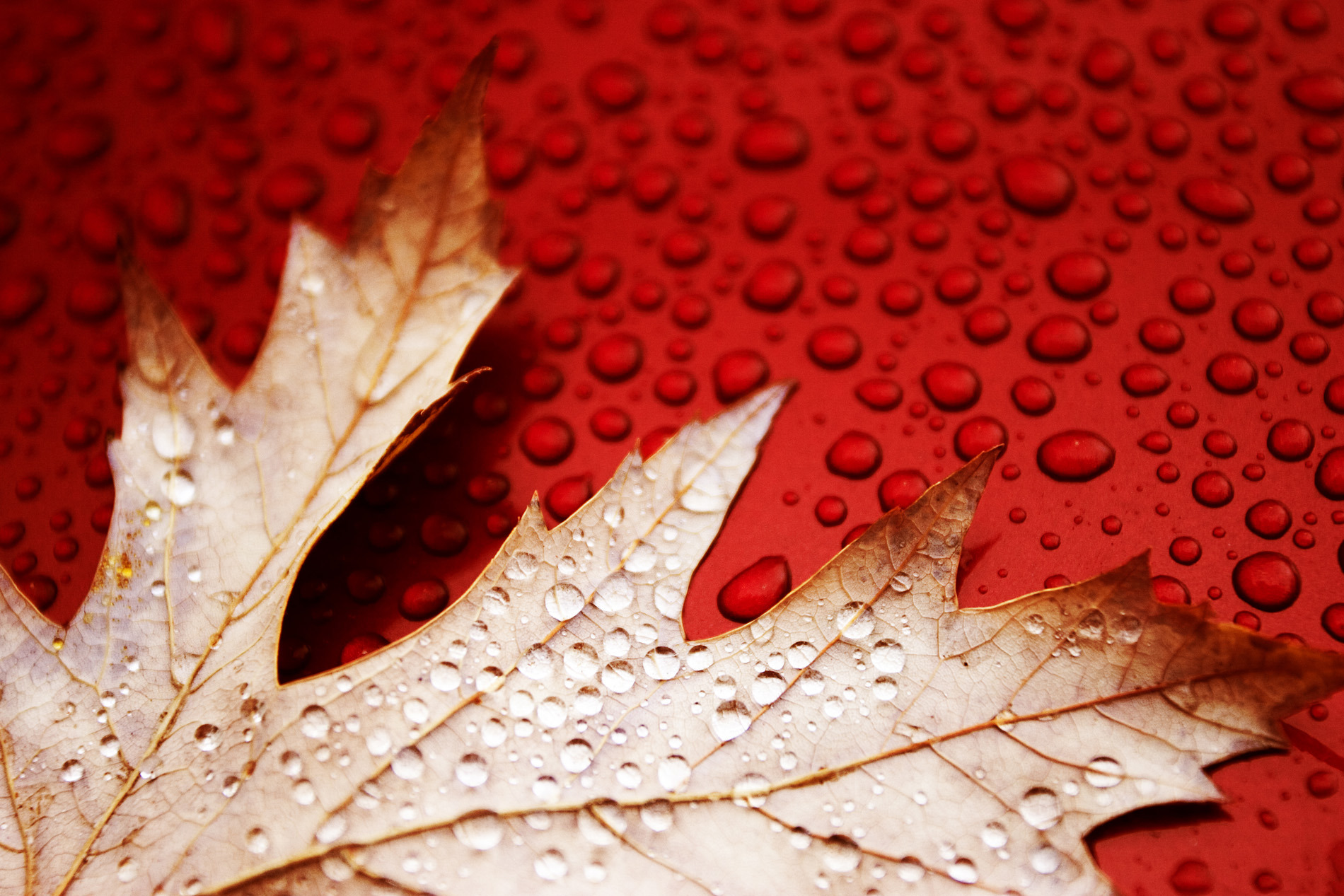 red leaves wet water HD Wallpaper