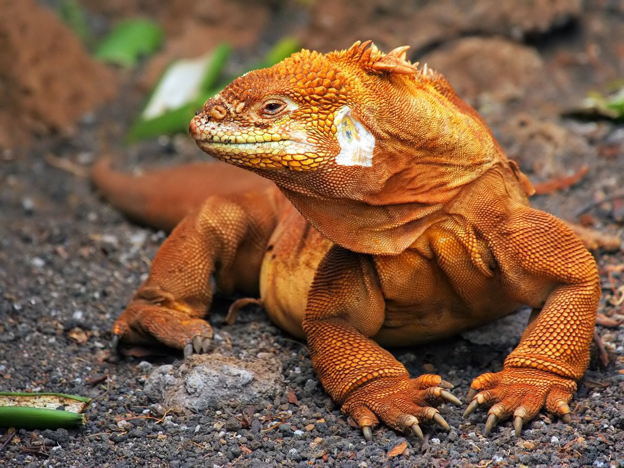 Reptiles iguana HD Wallpaper