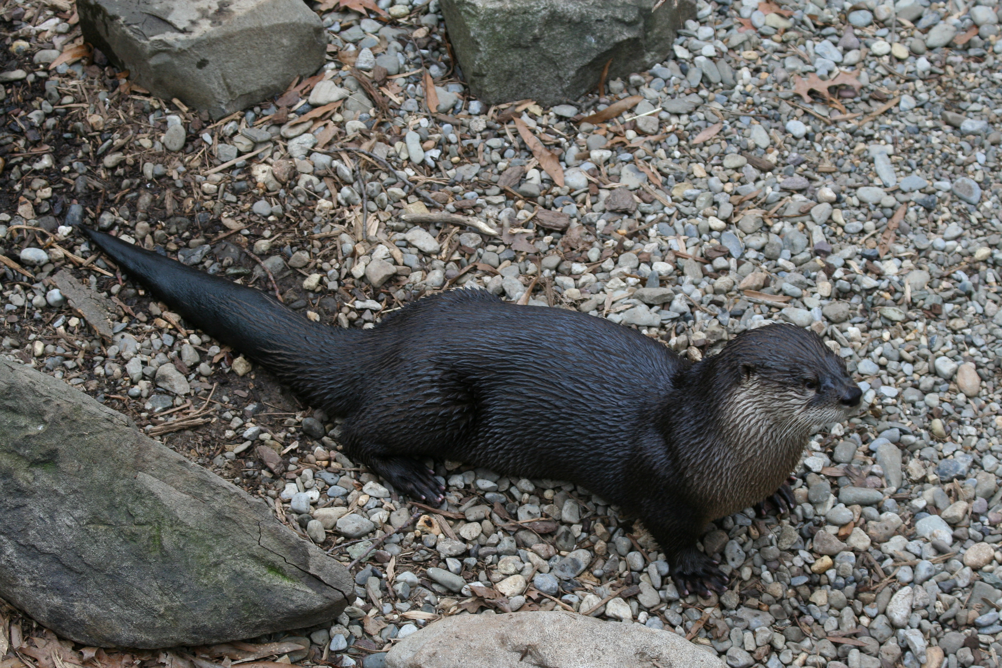 river otter at The