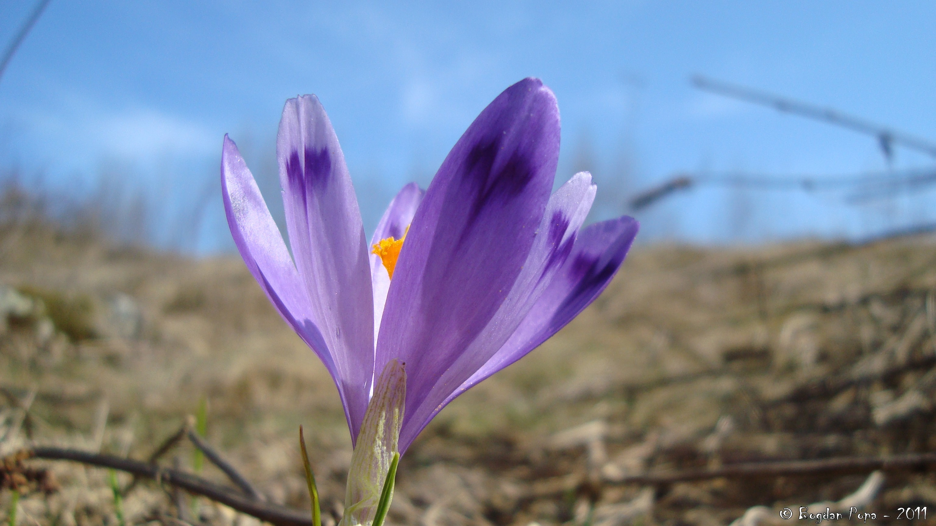 romania crocus purple flowers HD Wallpaper