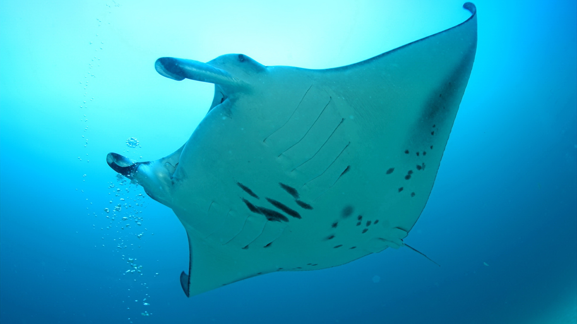 Sea underwater Manta Ray HD Wallpaper
