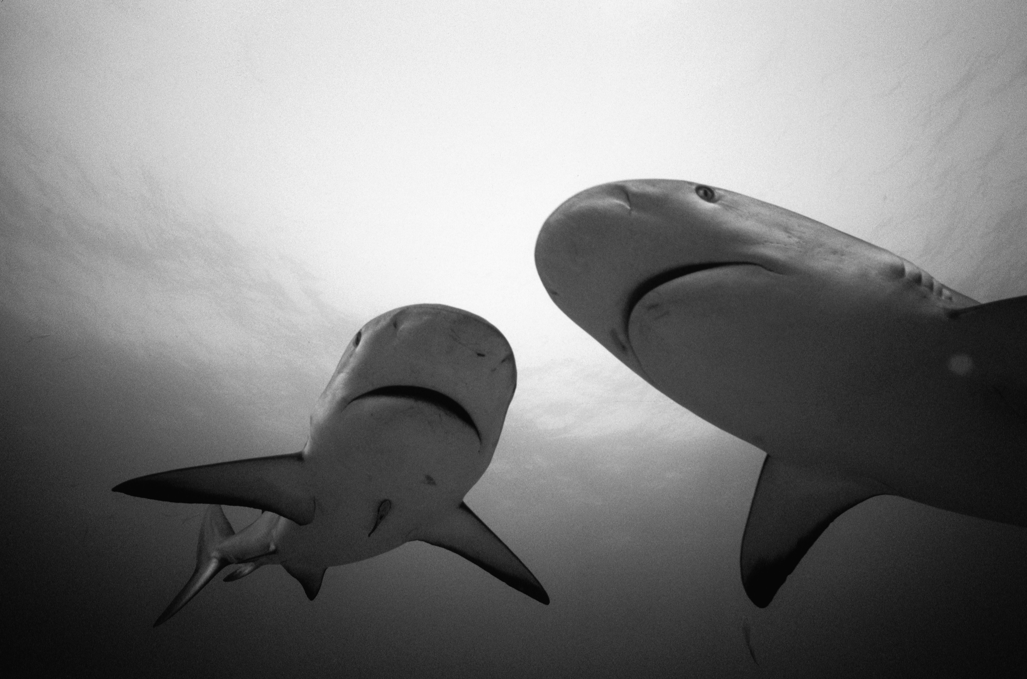 Sharks monochrome HD Wallpaper