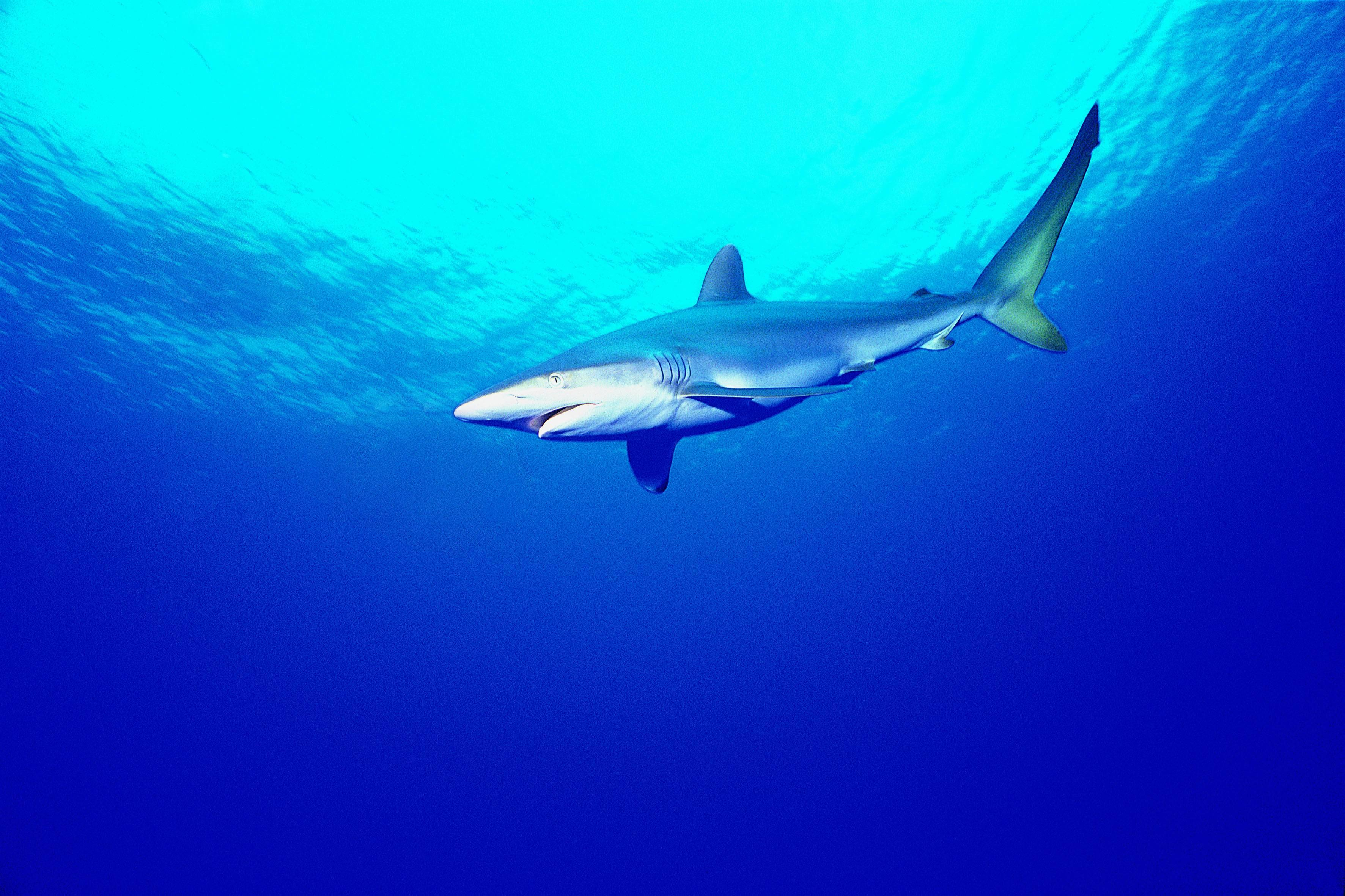 Sharks underwater HD Wallpaper
