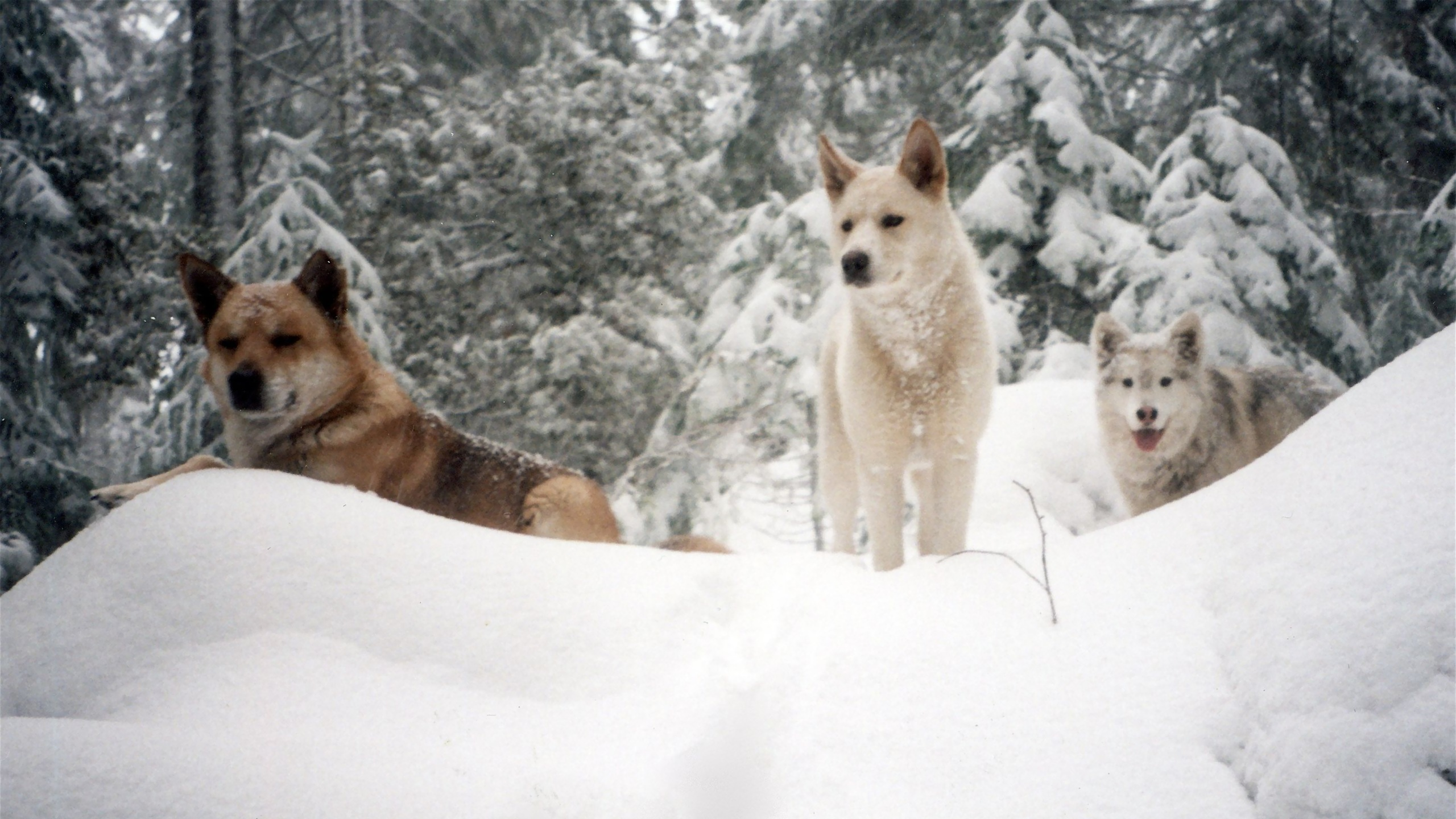 snow Animals Dogs HD Wallpaper