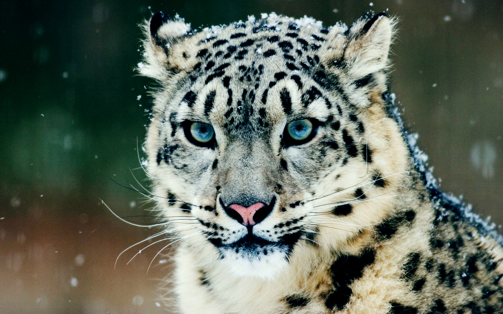 snow Animals feline Leopards HD Wallpaper