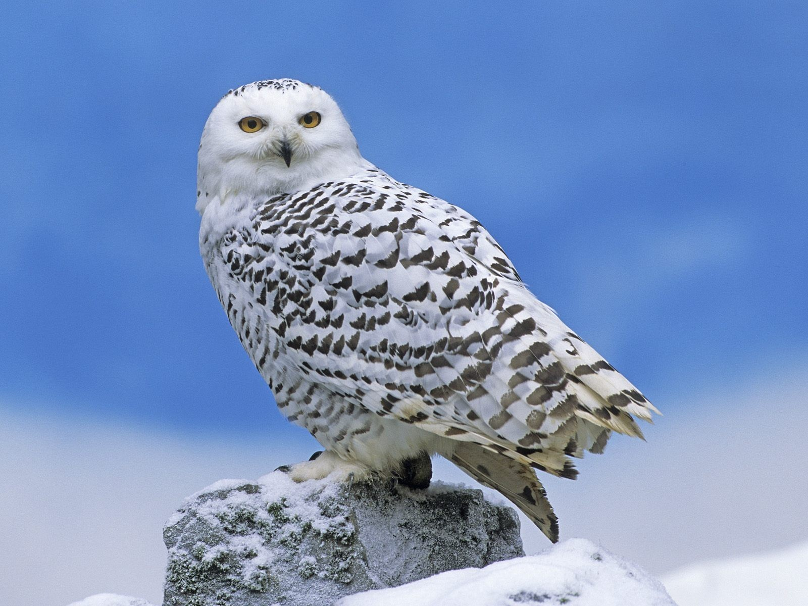 snow Birds Owls HD Wallpaper