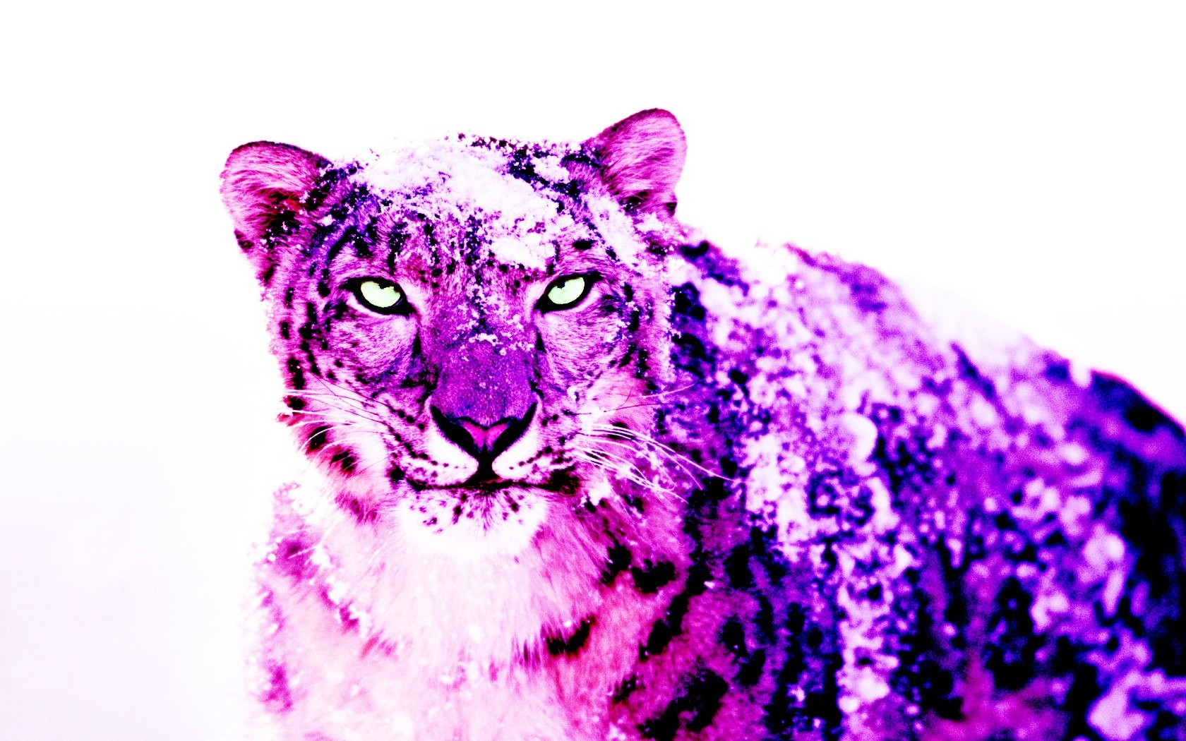 snow purple Leopards HD Wallpaper