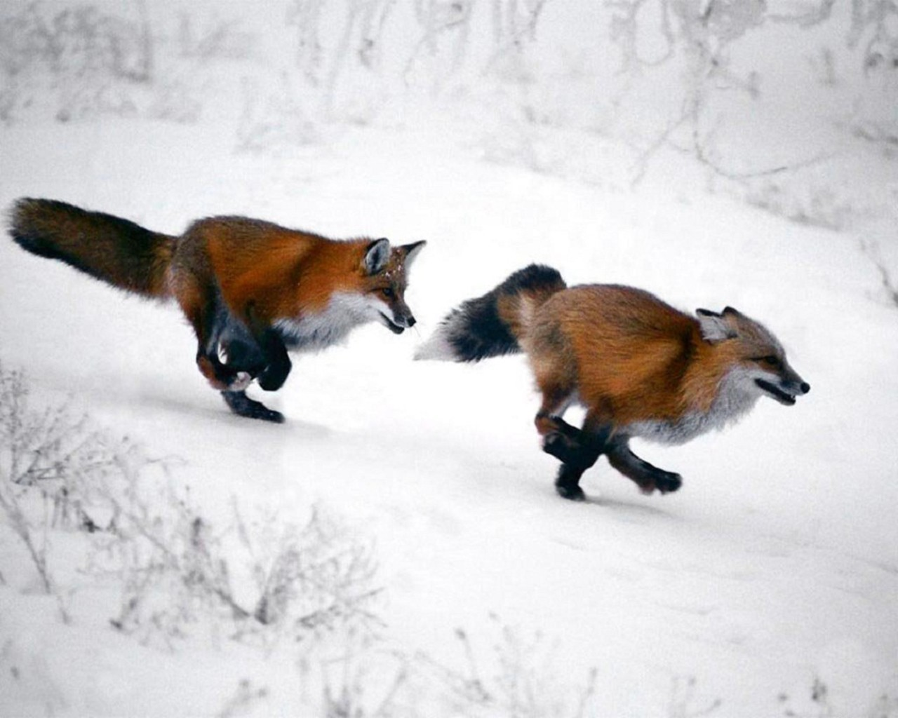 snow red running foxes HD Wallpaper