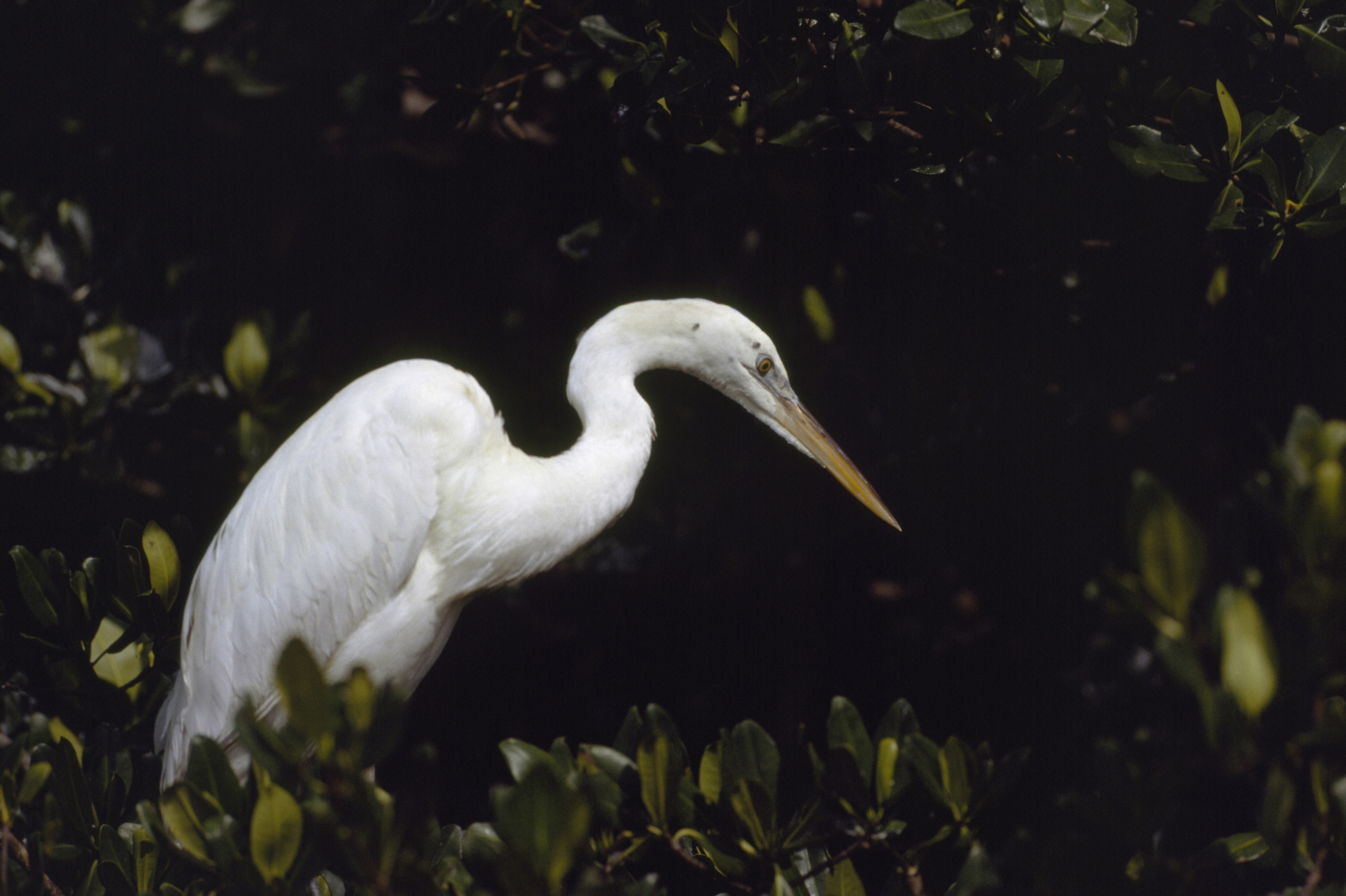 snowy egret egrets everglades HD Wallpaper
