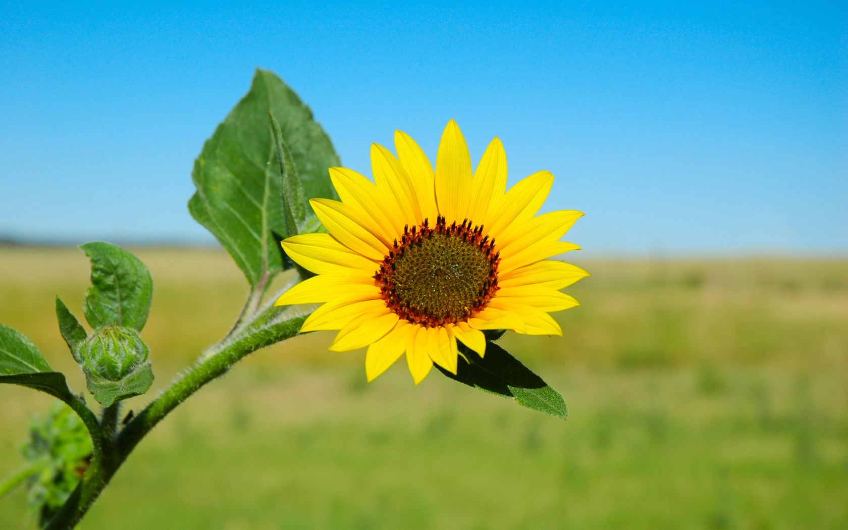 sunflower asteraceae helianthus flower HD Wallpaper