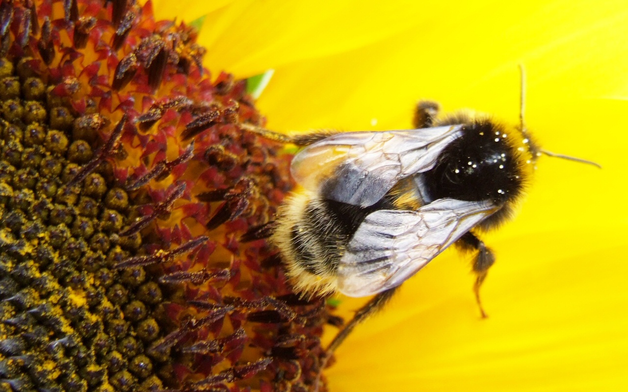 sunflower insect macro bee HD Wallpaper