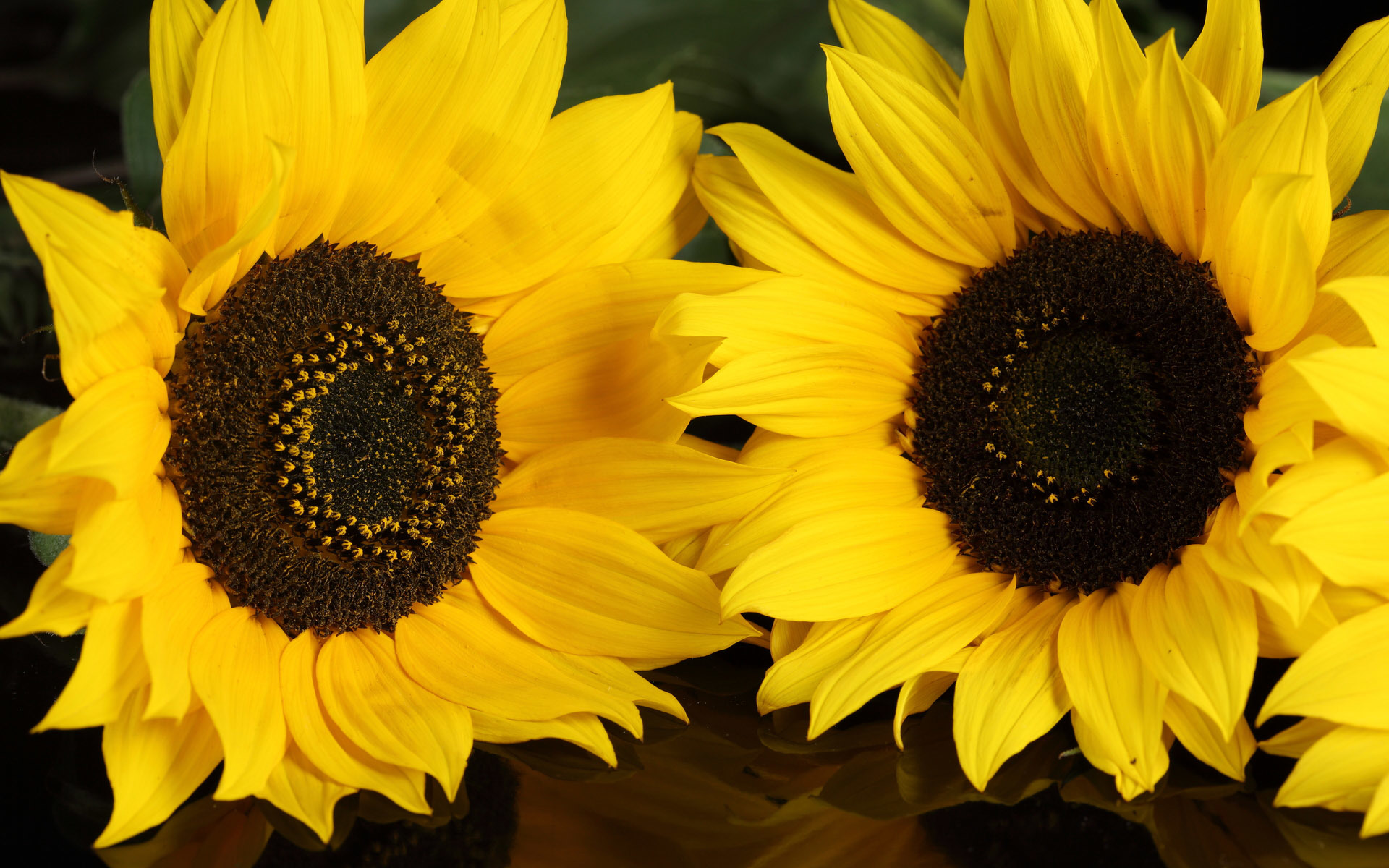 Sunflowers flower Flowers HD Wallpaper