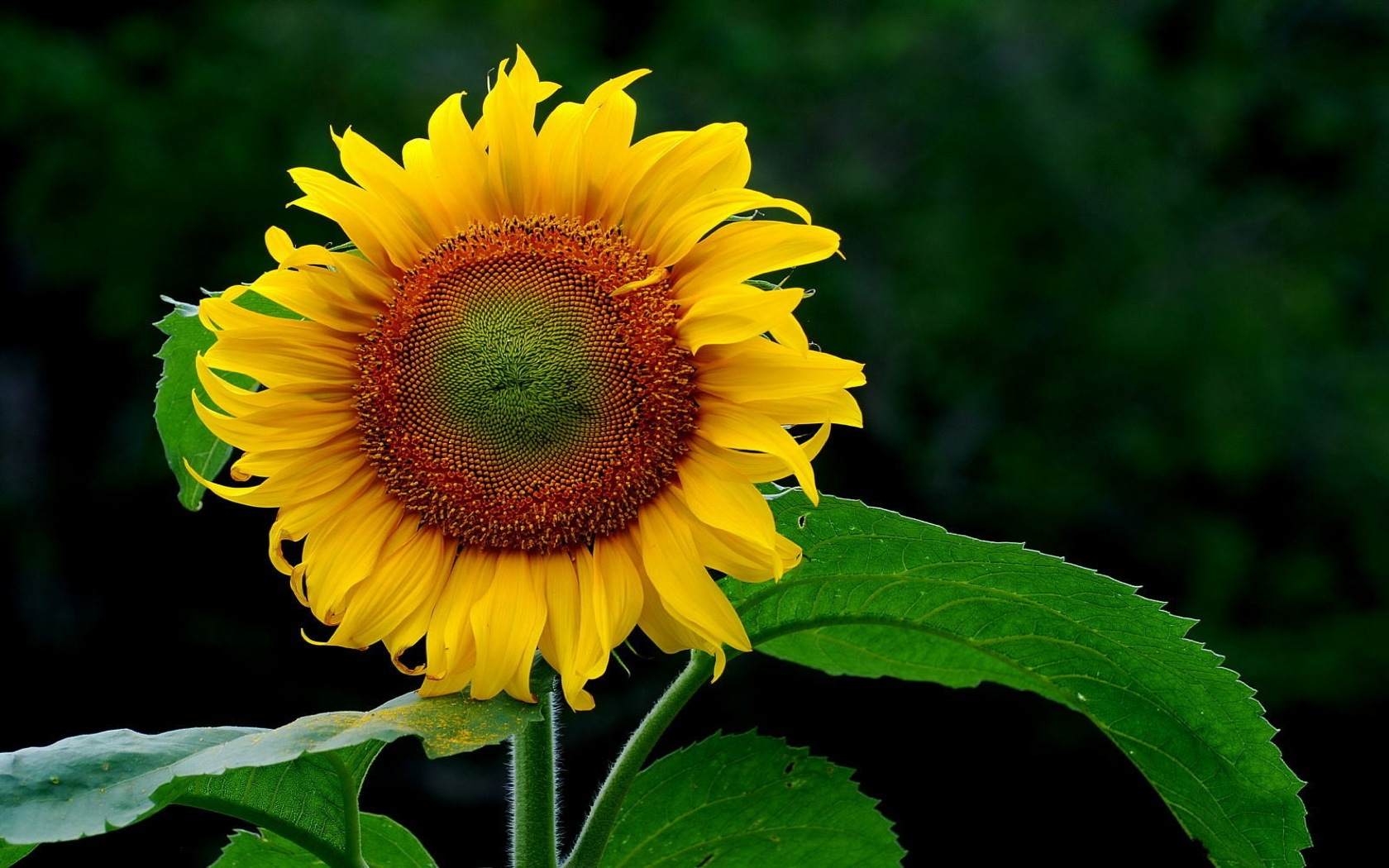 Sunflowers sunflower HD Wallpaper