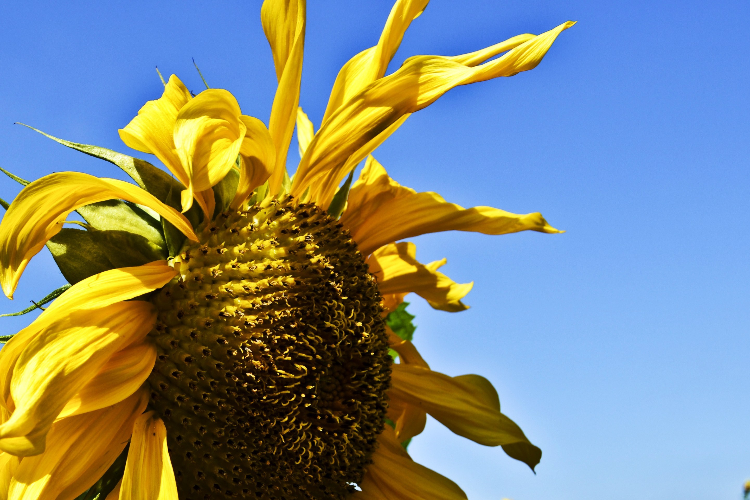 Sunflowers yellow flowers HD Wallpaper