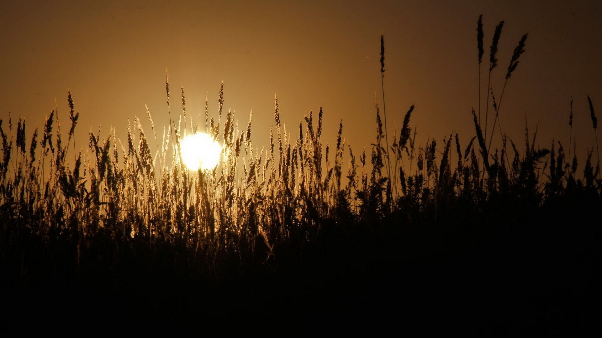 sunset Landscapes wheat spikelets HD Wallpaper