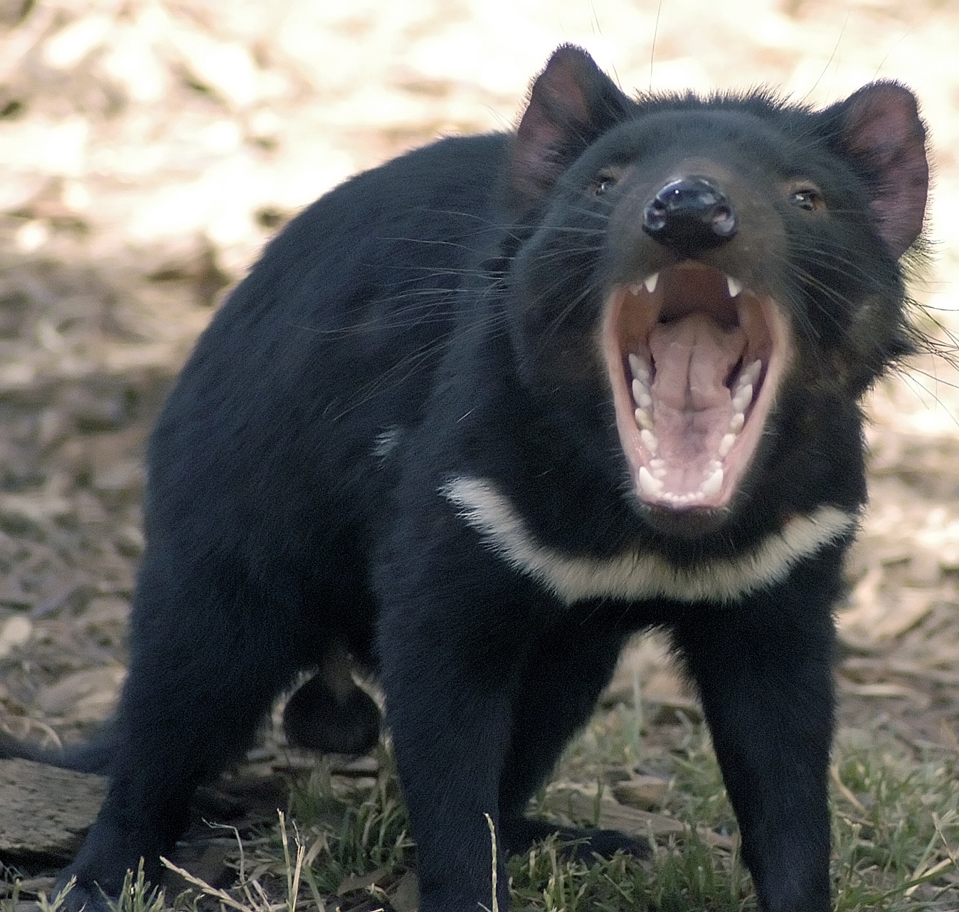 tasmanian devil Animals wildlife