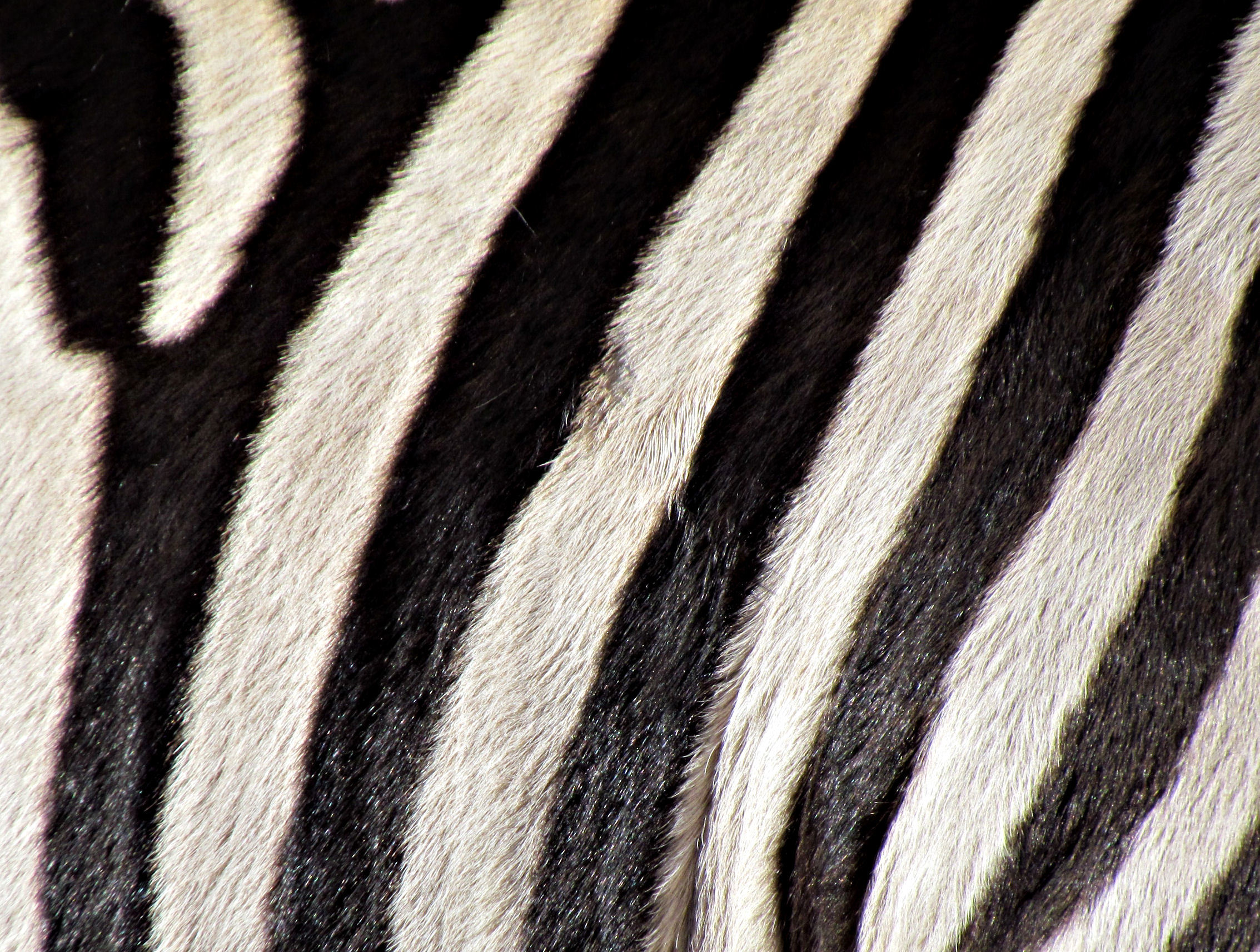 Textures zebras skin stripes HD Wallpaper