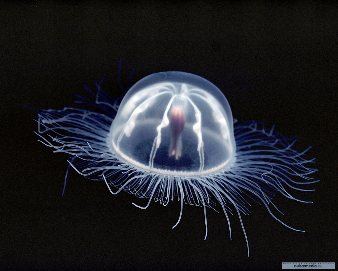 transparent jellyfish xl forgot HD Wallpaper