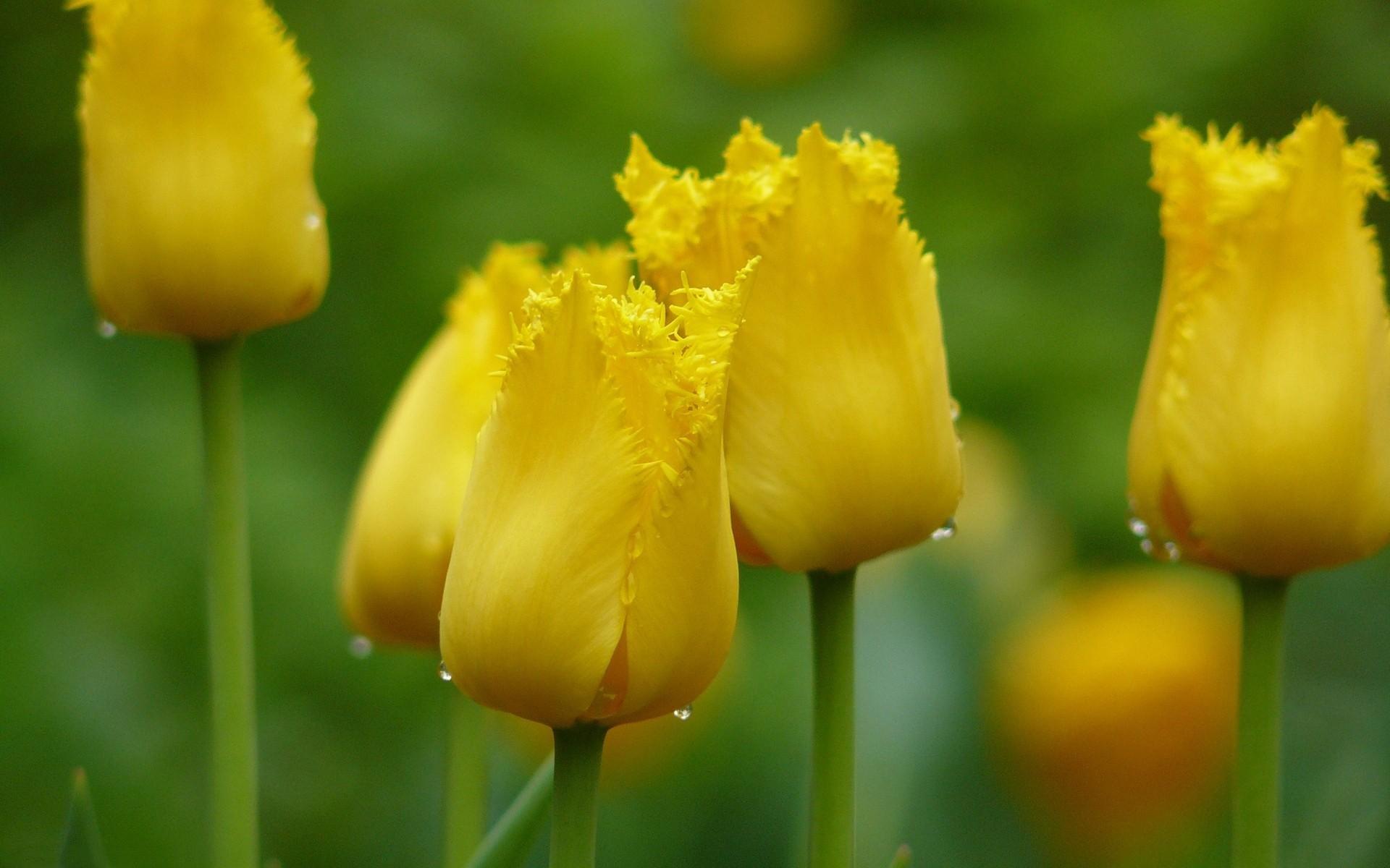 "\""tulips"