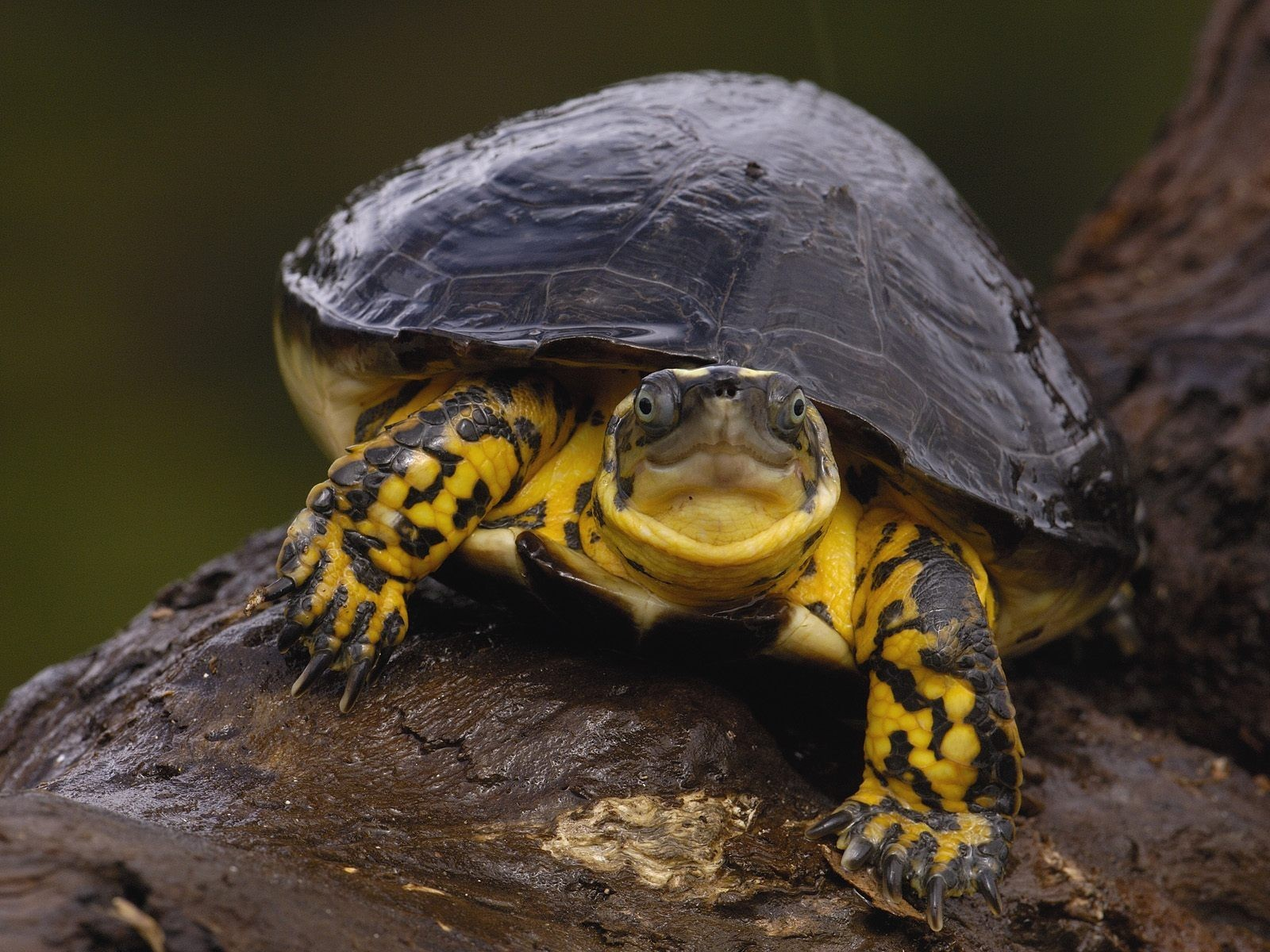 turtles Reptiles HD Wallpaper